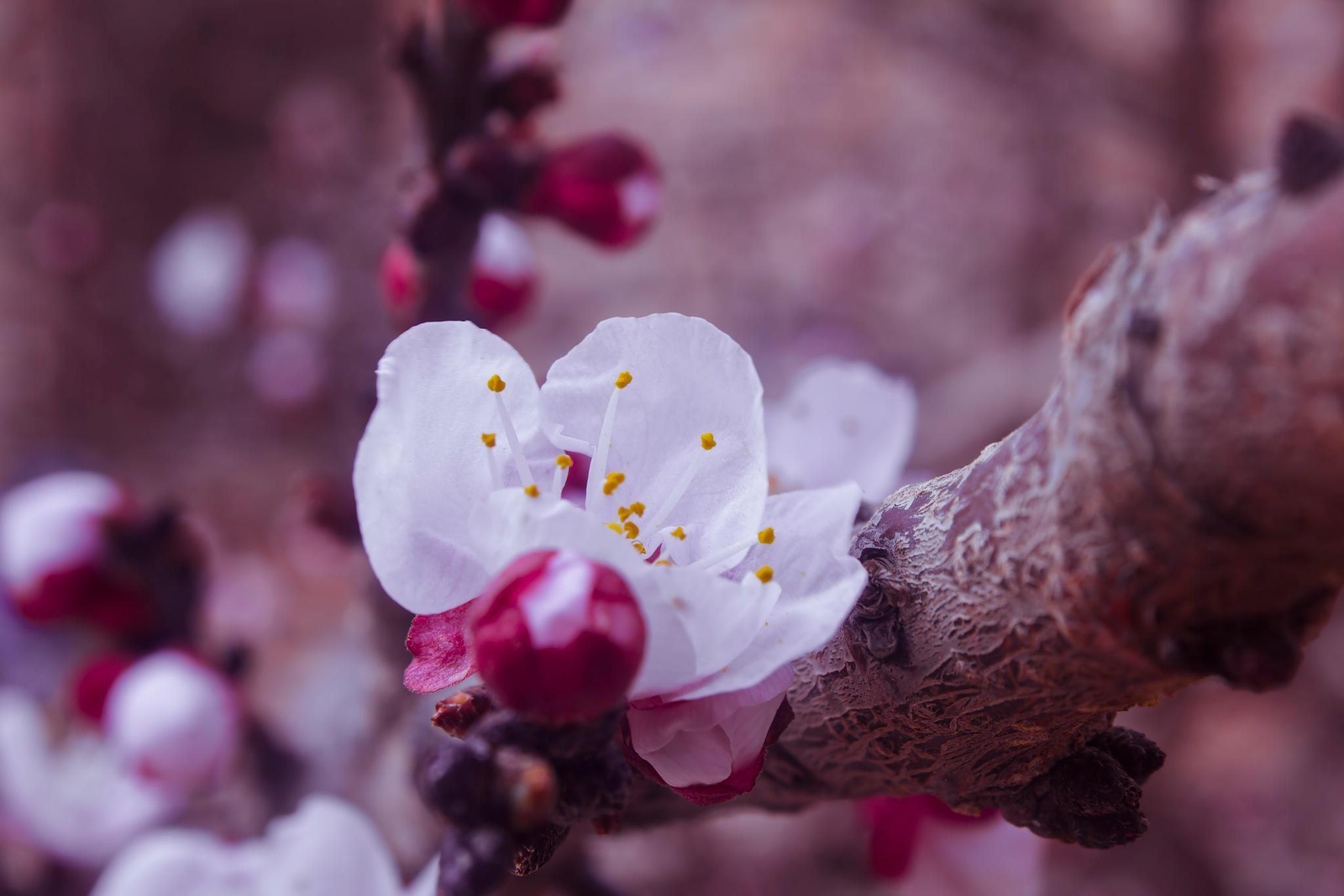 Sakura  by MOHAMED ELAMIN EL BAR