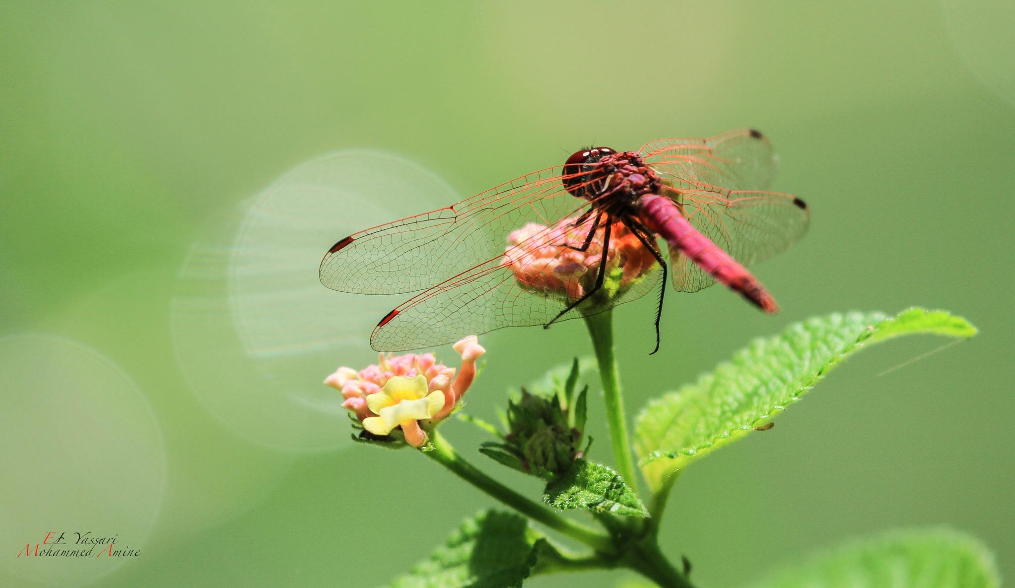 Dragonfly by elyassari