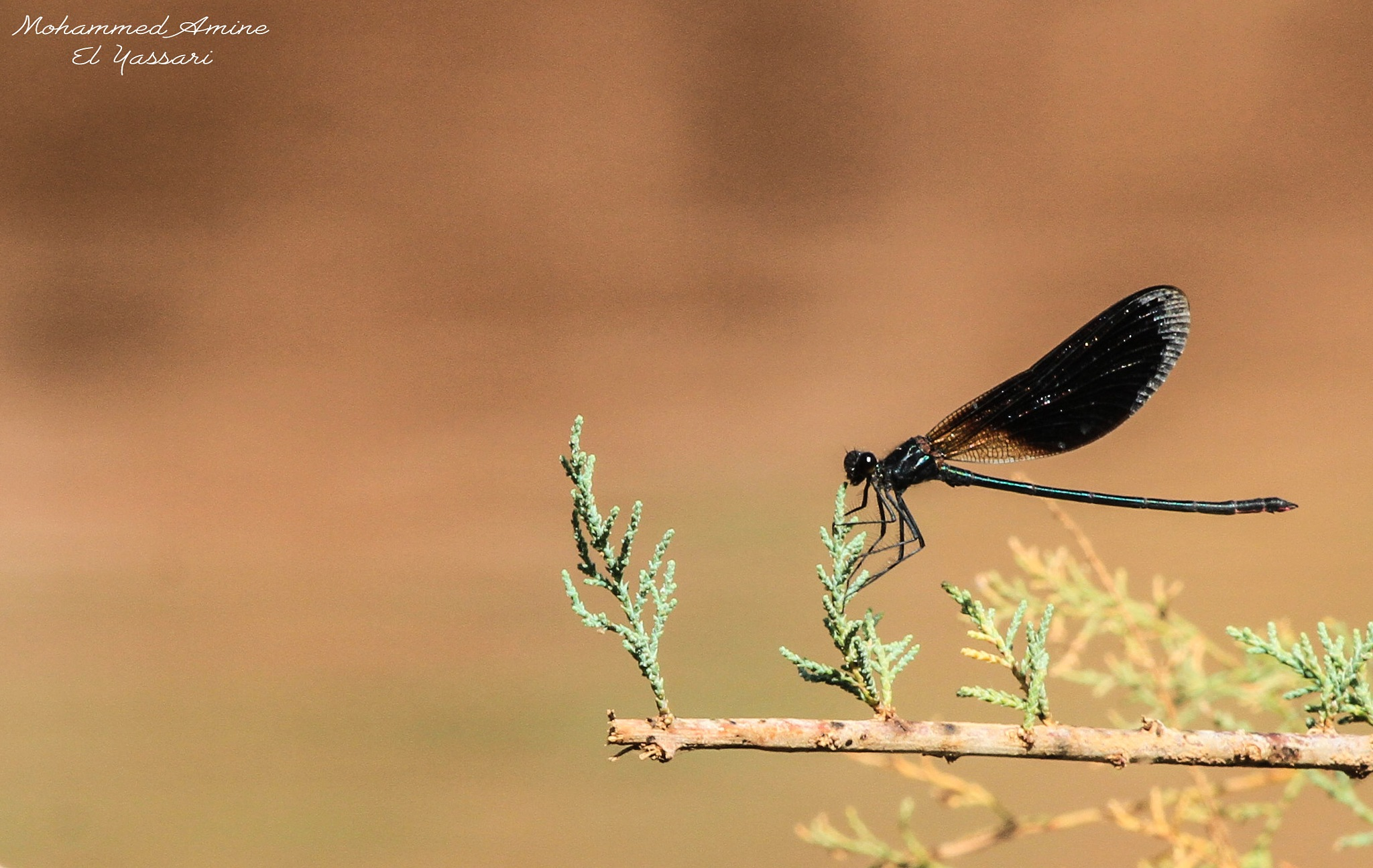 pterygota by elyassari