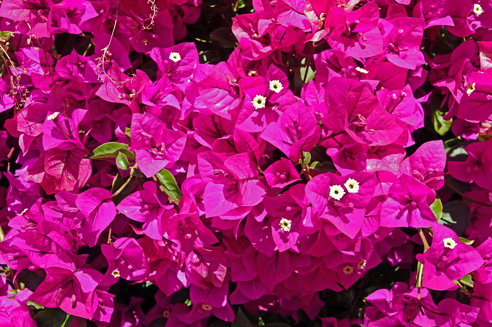 Bougainvillea 1 by RoseRot