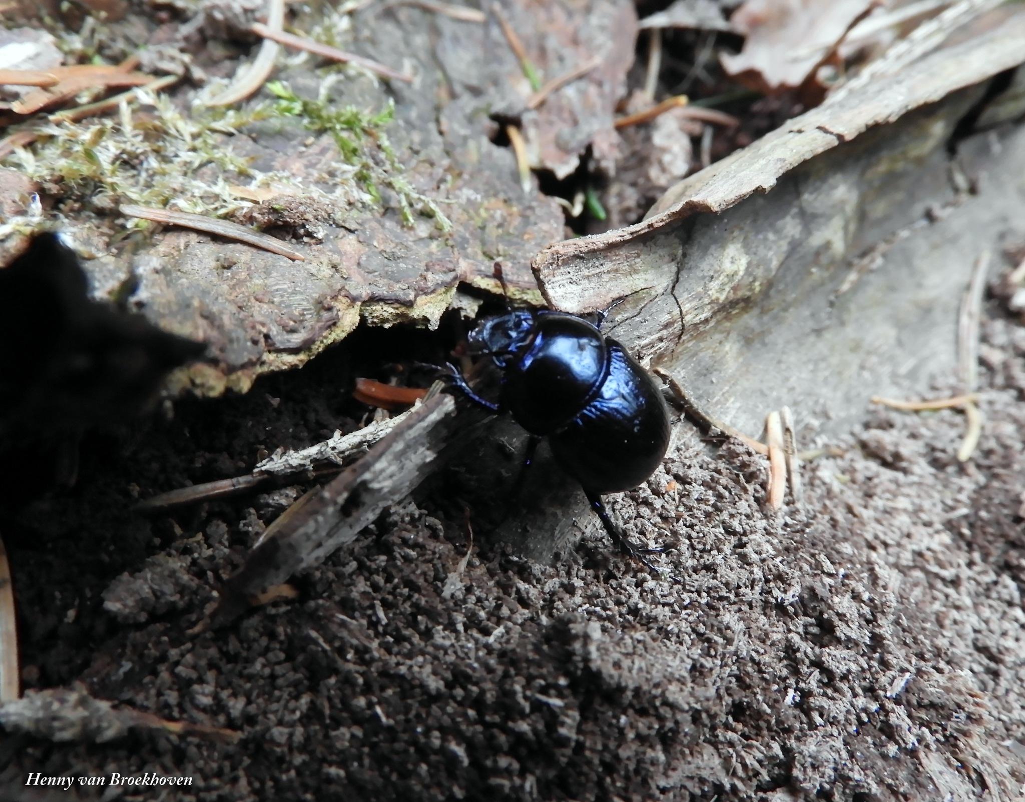 Beetle again by Henny van Broekhoven