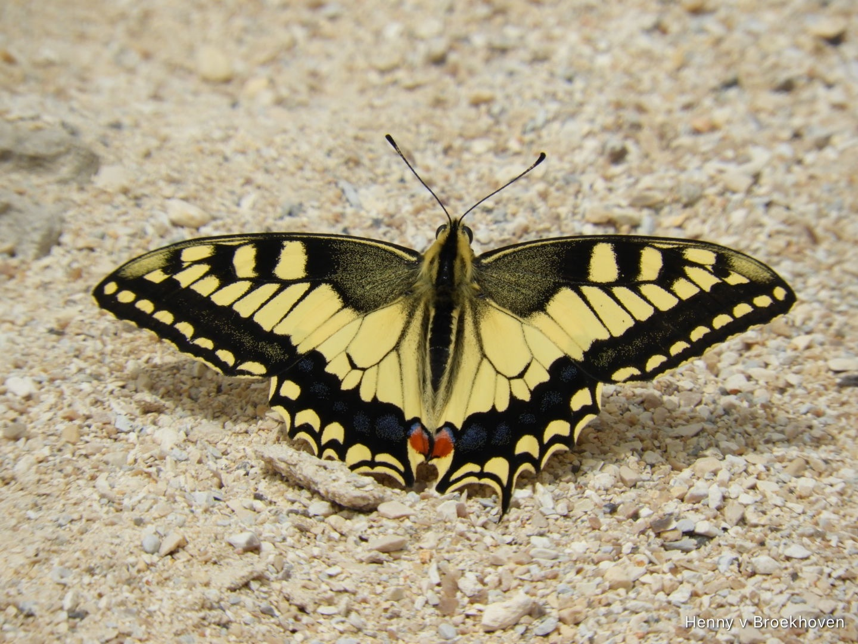 Butterfly  by Henny van Broekhoven