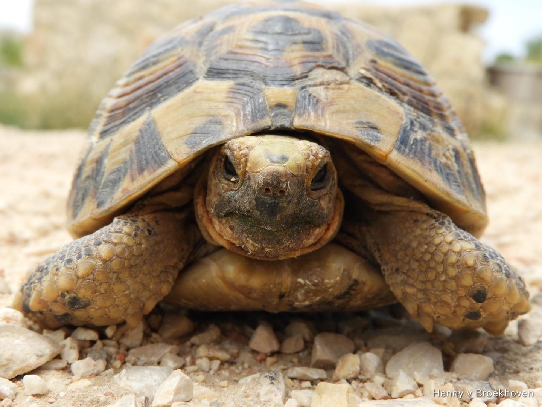Wild turtle  by Henny van Broekhoven