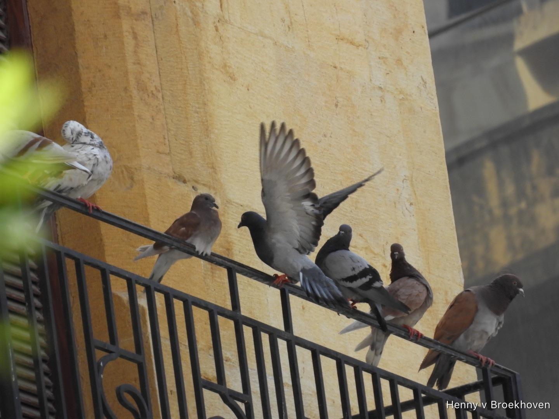 Pigeons by Henny van Broekhoven