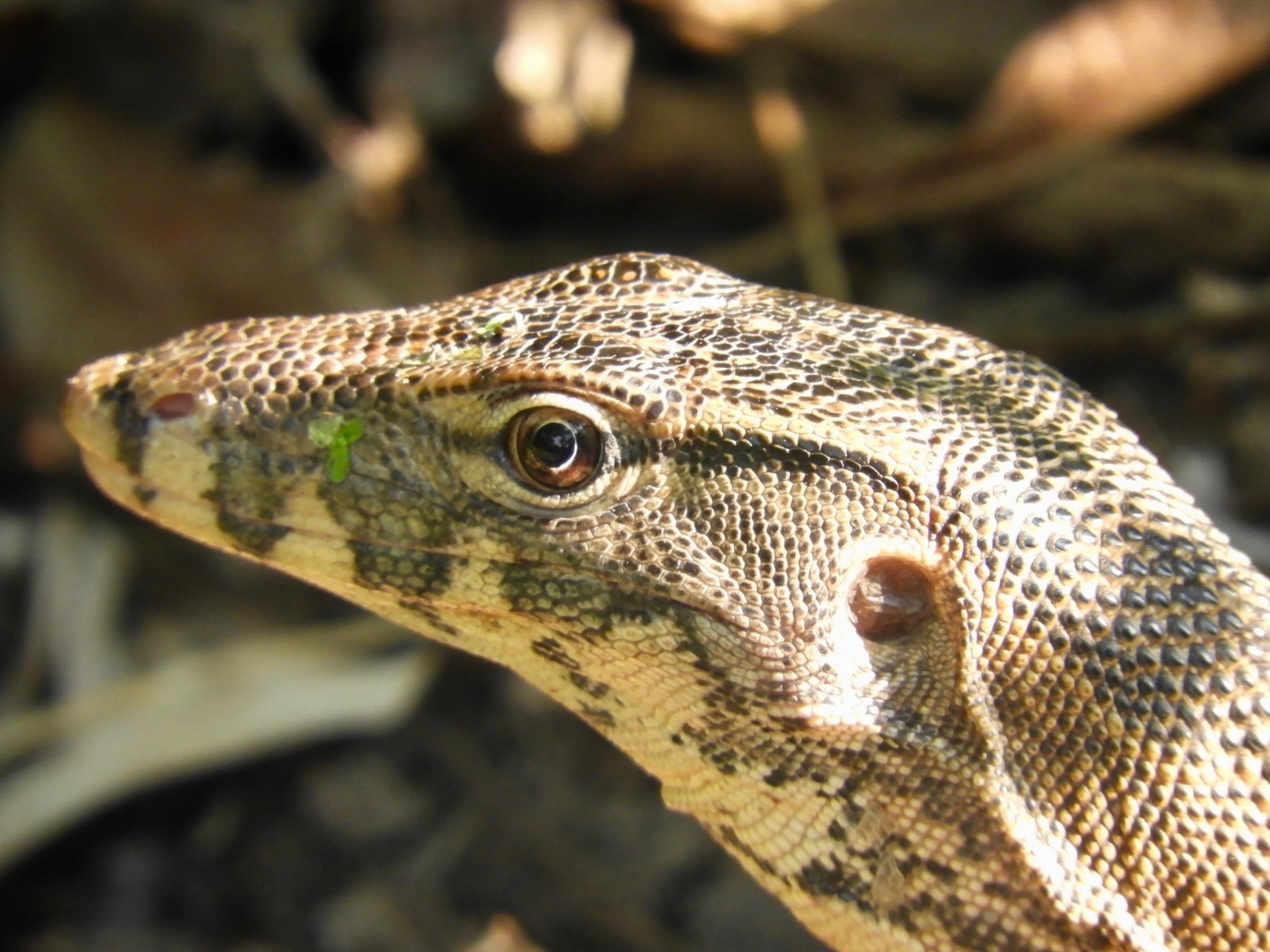 iguana by Henny van Broekhoven