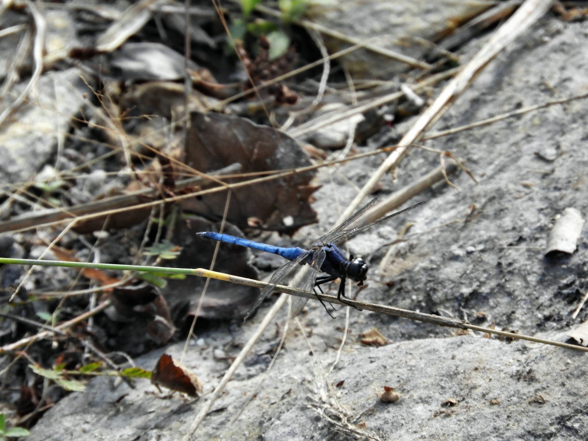 blue dragonfly by Henny van Broekhoven