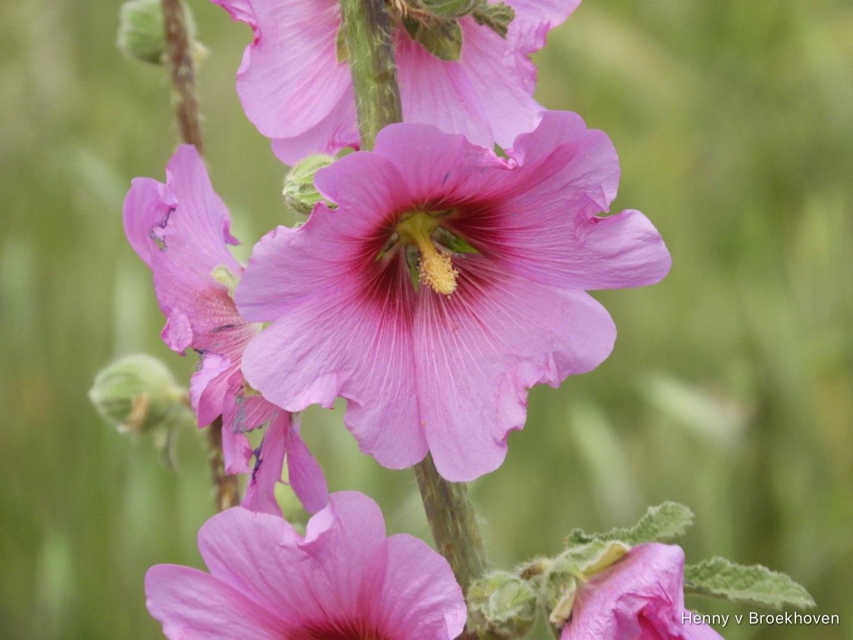 In pink by Henny van Broekhoven