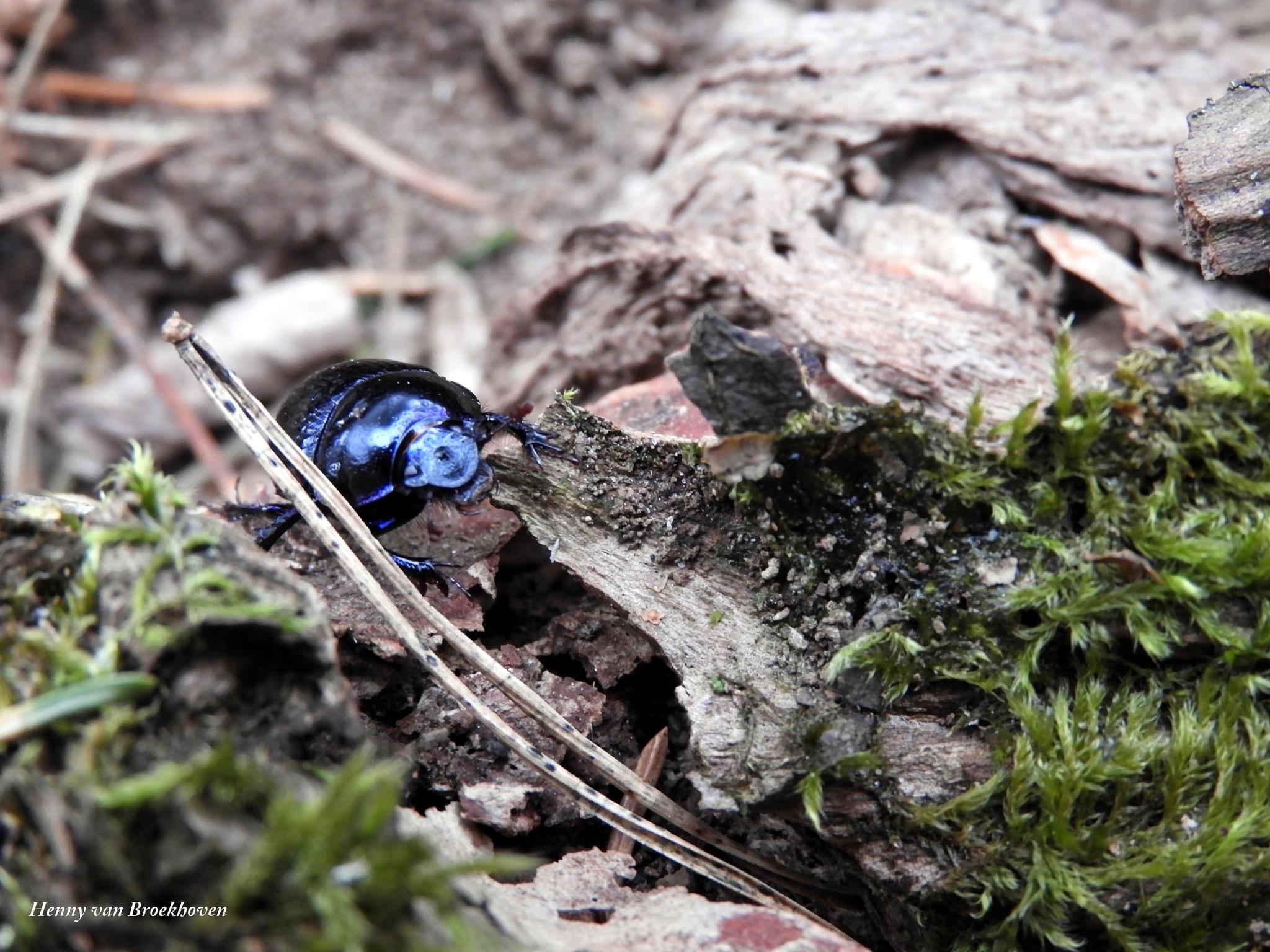 Beetle on the Walk by Henny van Broekhoven