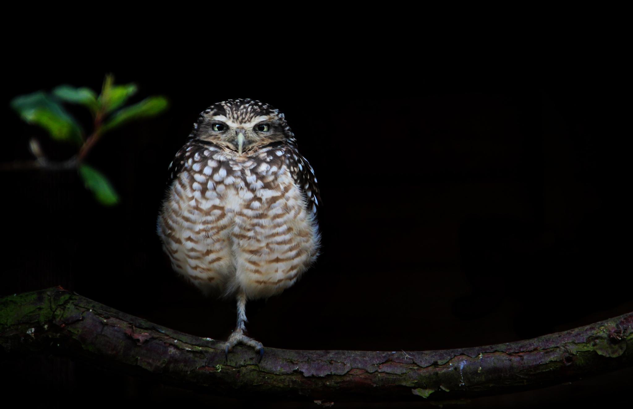 Litle Owl by Stephanie Veronique