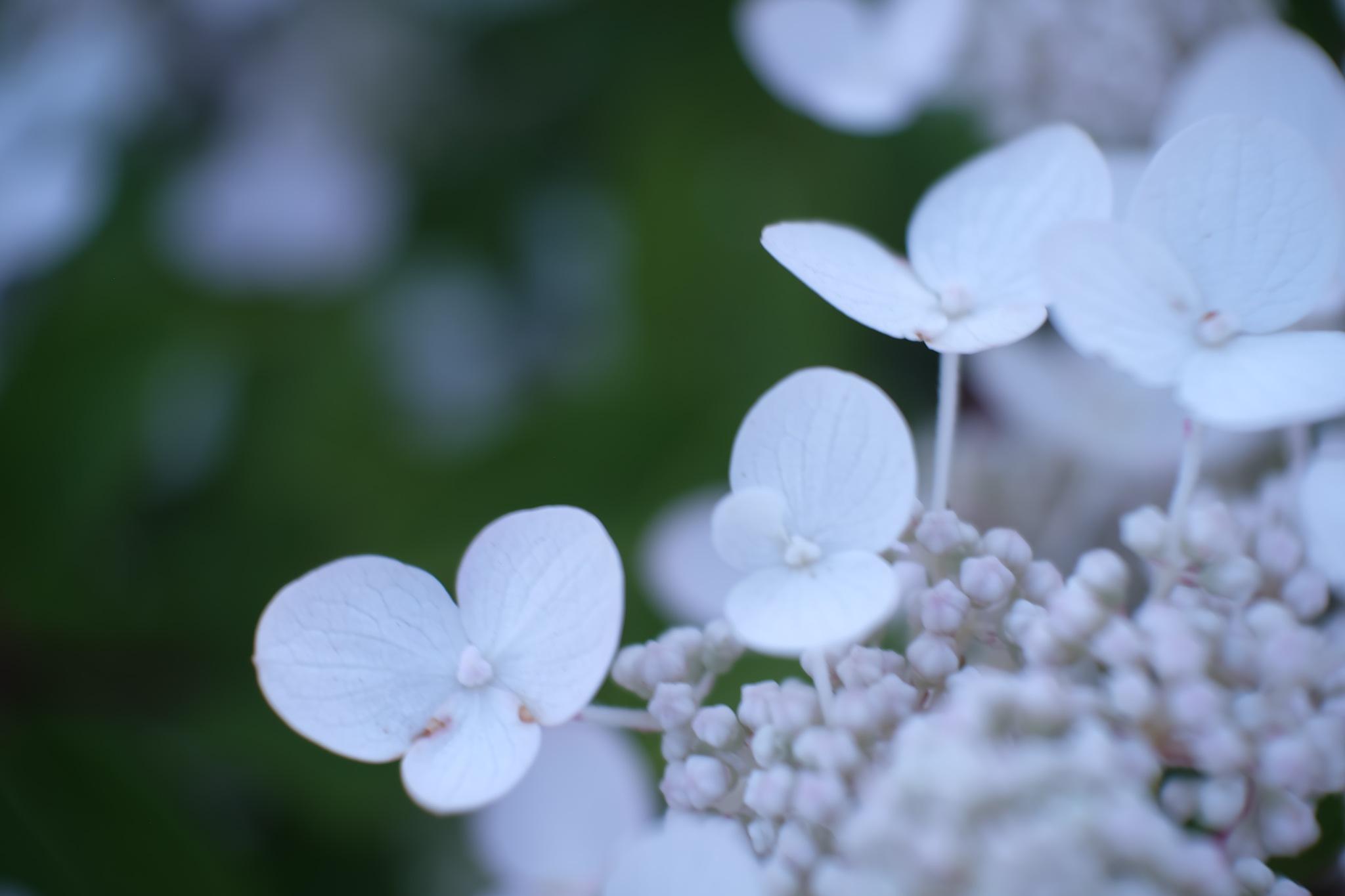 Tea of heaven - Hydrangea Serrata by Studio89Fotos - 湖北武汉