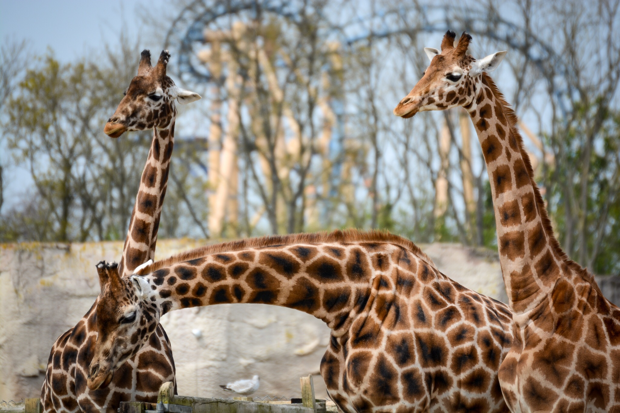Giraffes at Flamingo Land by Kim Walker