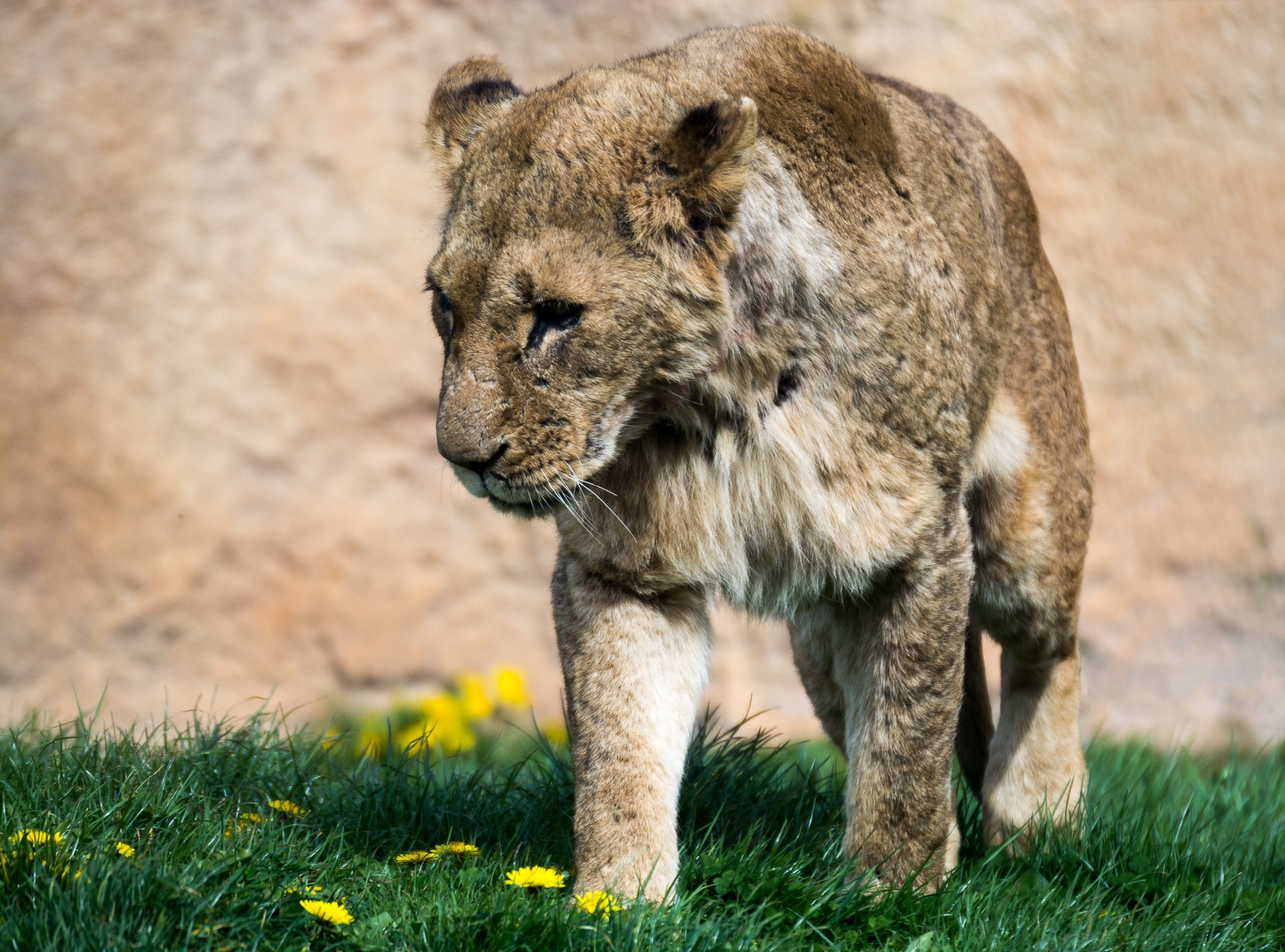 Lion at Flamingoland by Kim Walker