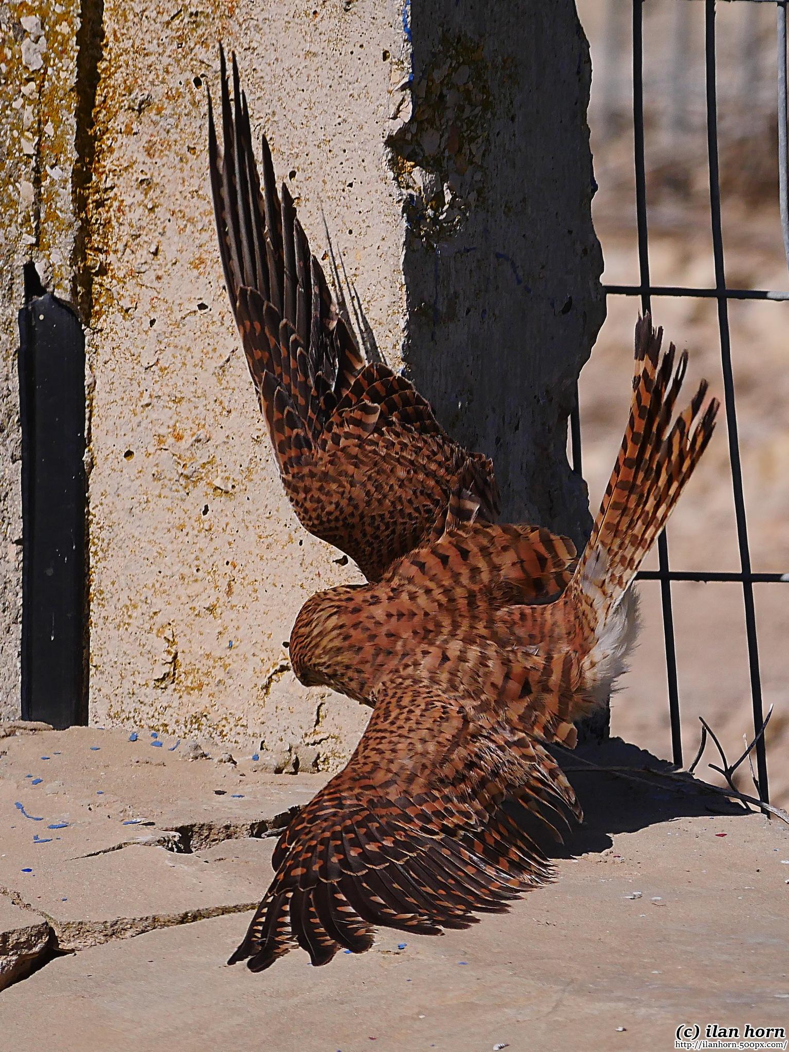 Kestrel trying to catch something by ilanhorn