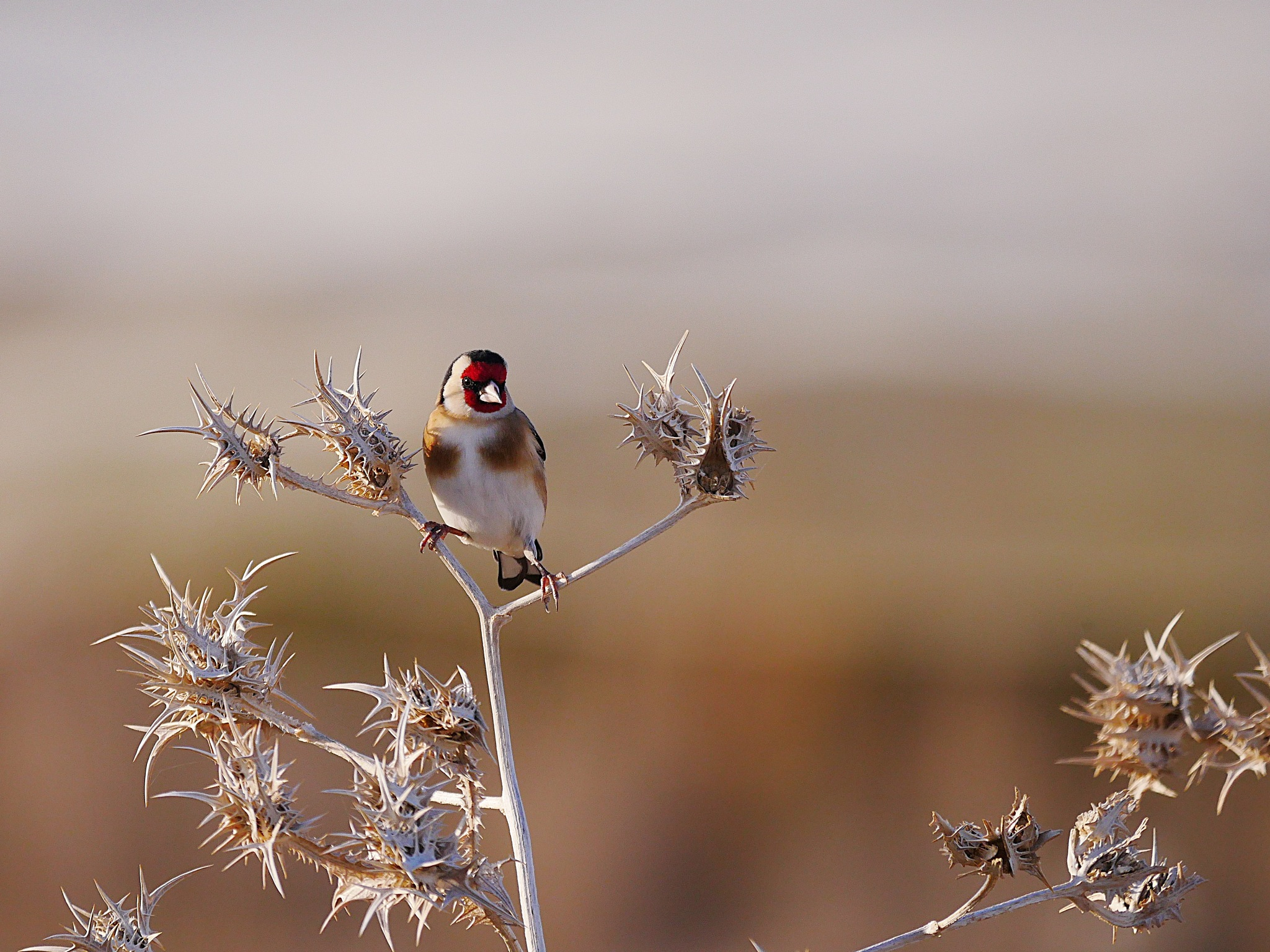 Goldfinch on a thorned bush by ilanhorn