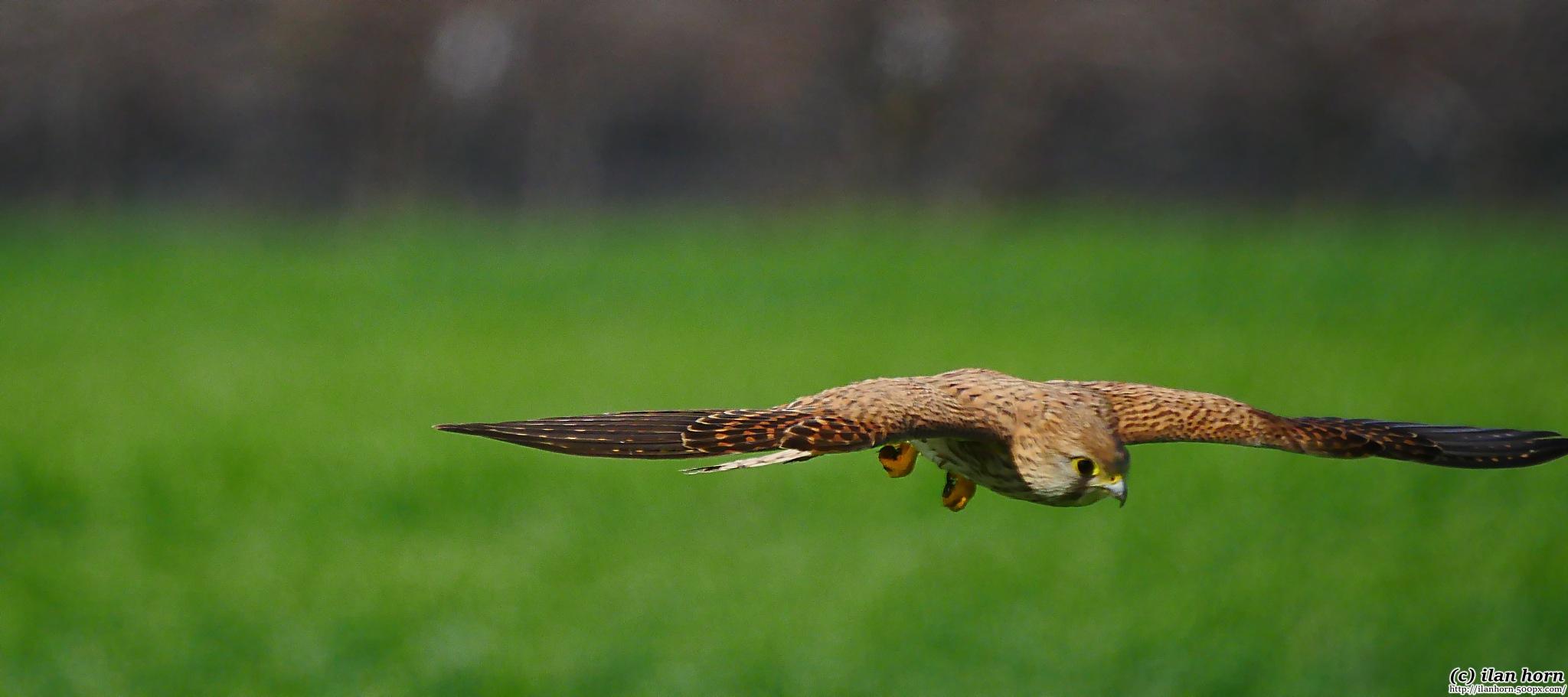 Kestrel in flight by ilanhorn