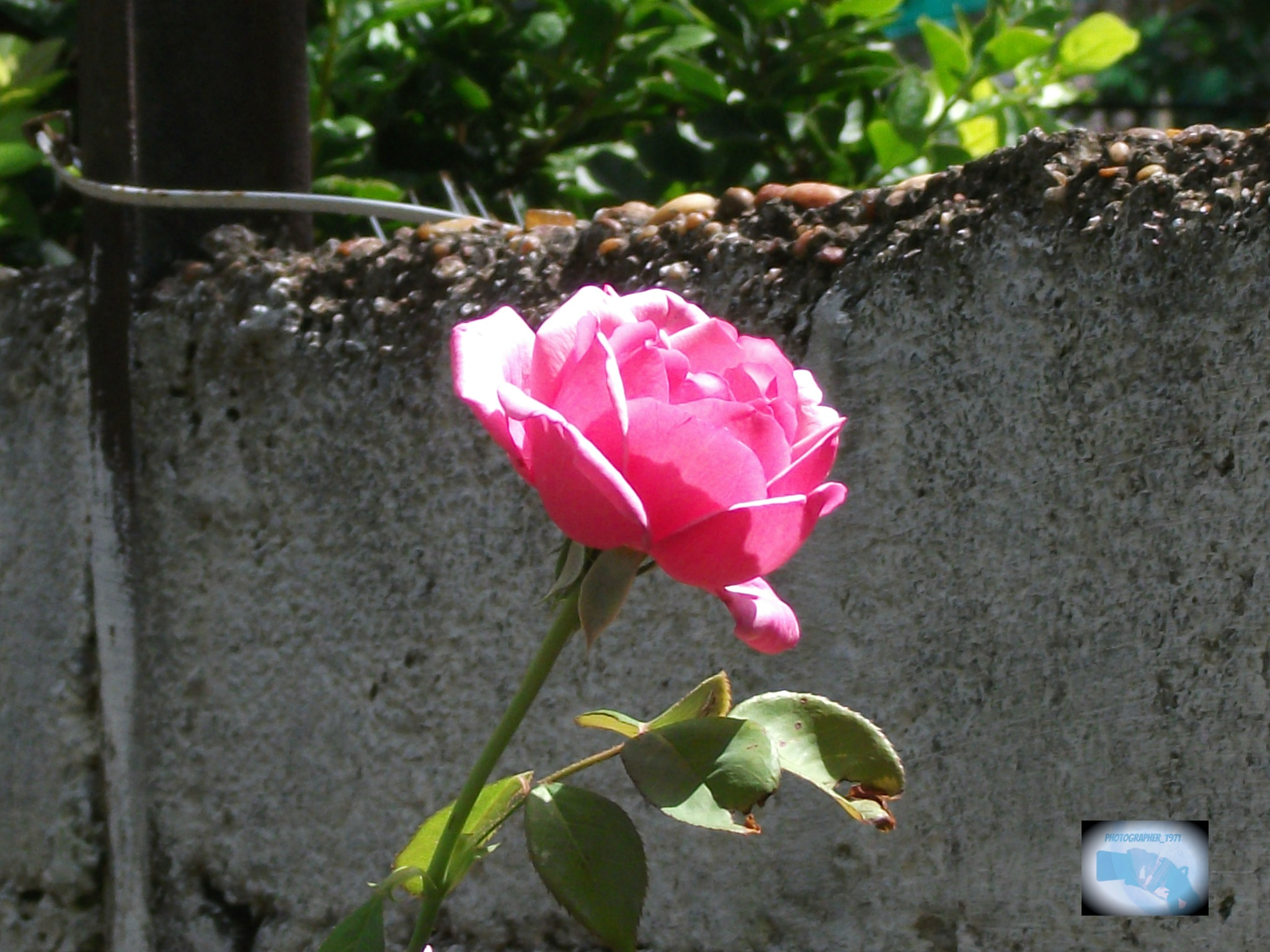 March rose by photographer_1971