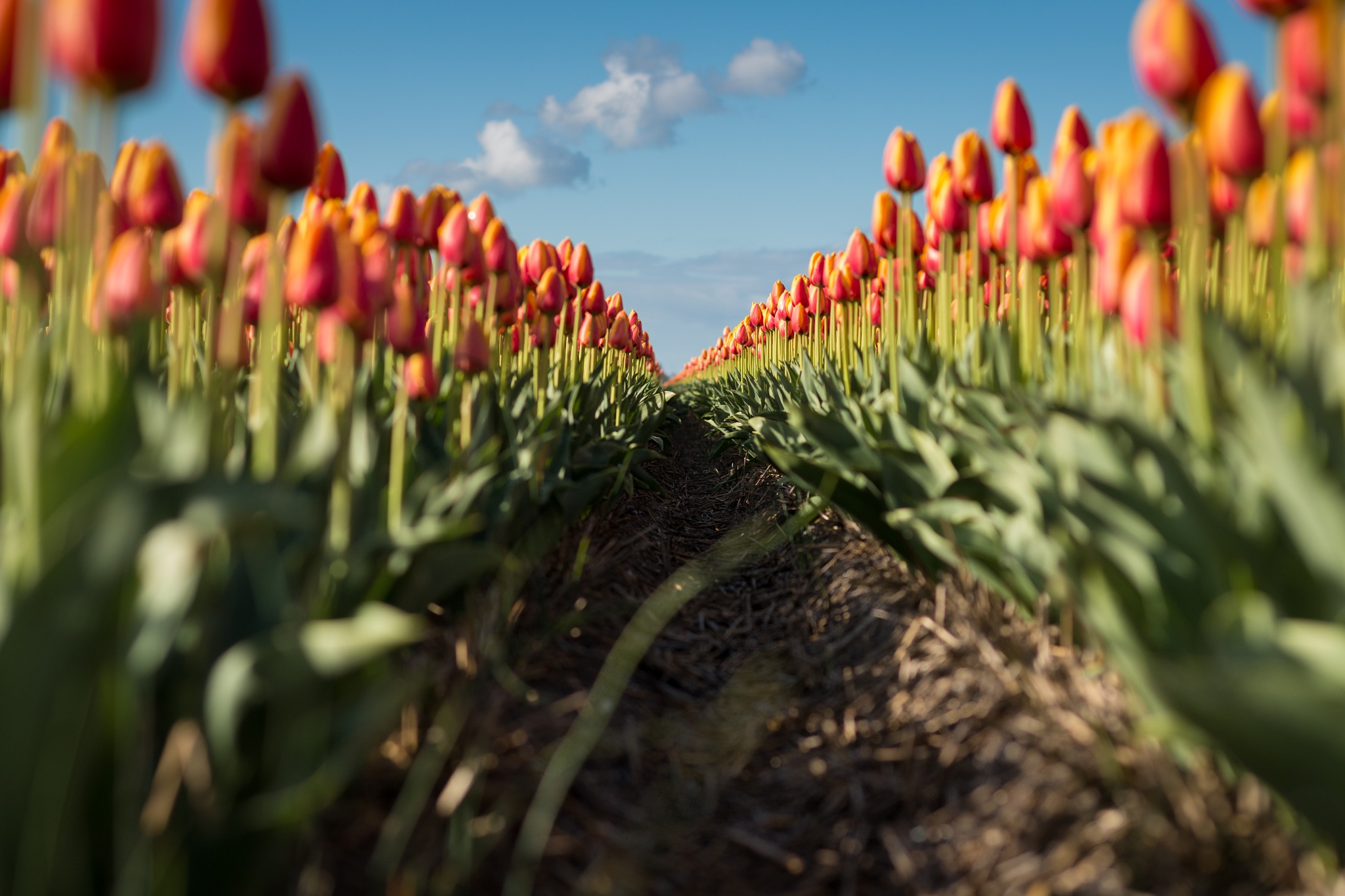 Rows of tulips by Dennis Moes