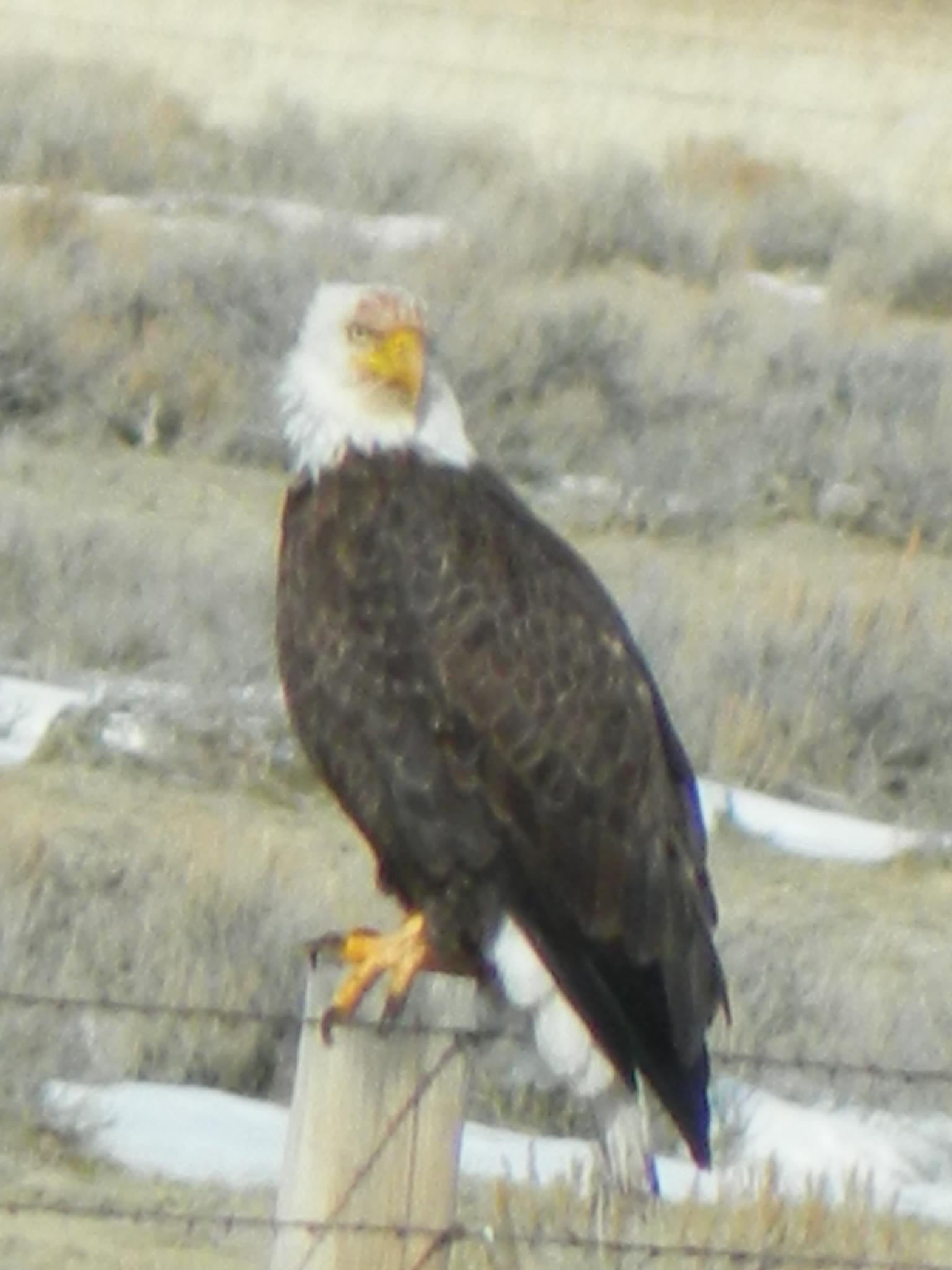 Majestic Eagle II by Mark Court (MyWyomingPhotography)