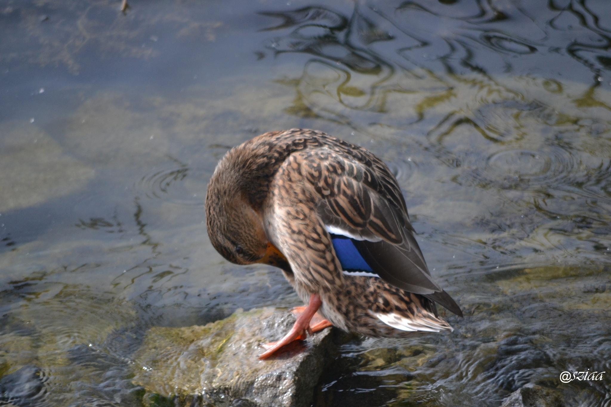 Photo in Animal #animal #balaton #bird #color #duck #fonyód #hungary #nikon #outdoor #perspective #photography #travel #view #water #youpic