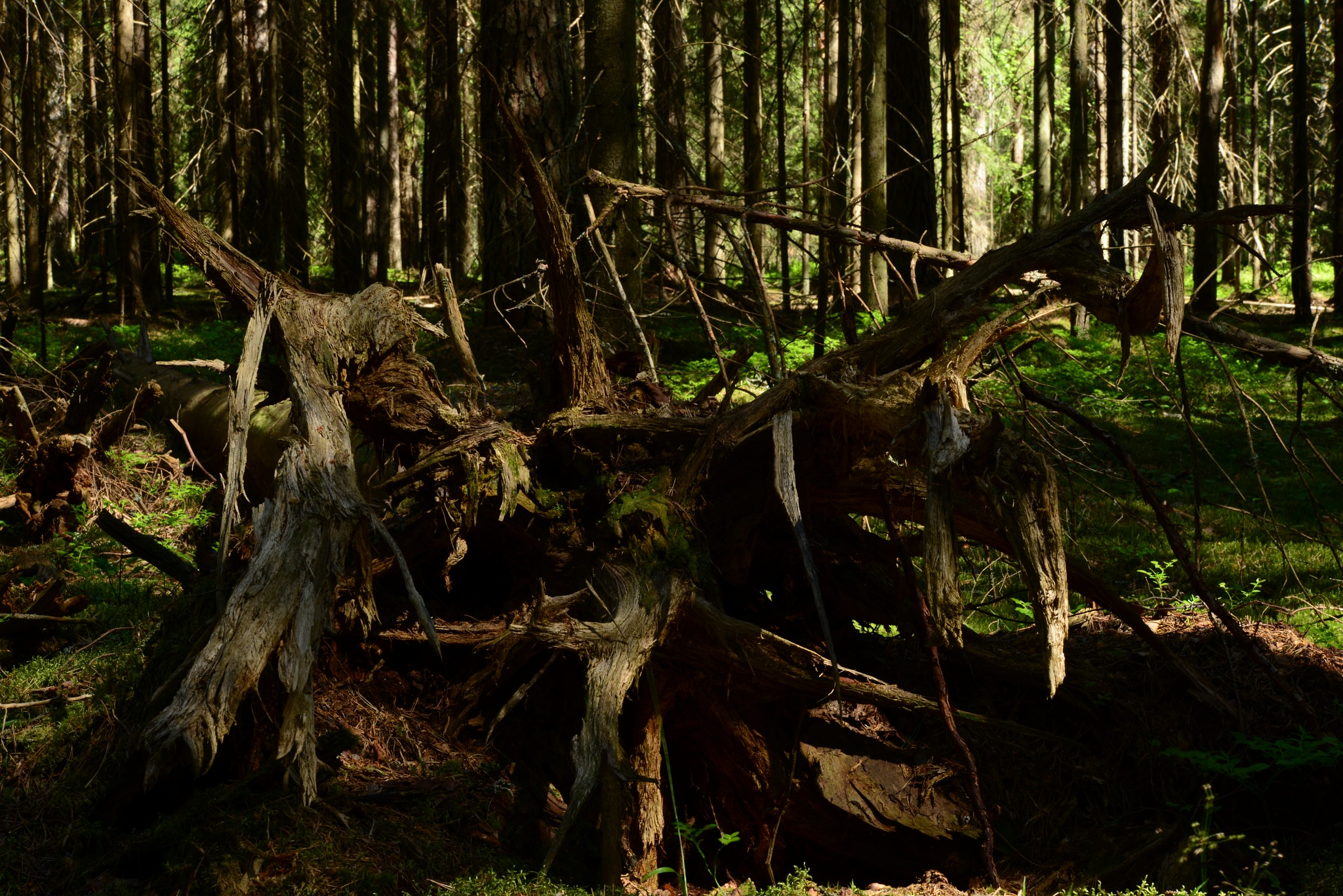 Dry the root of a fallen spruce fir forest in the sunlight spring morning by SergeiKudriavtcev