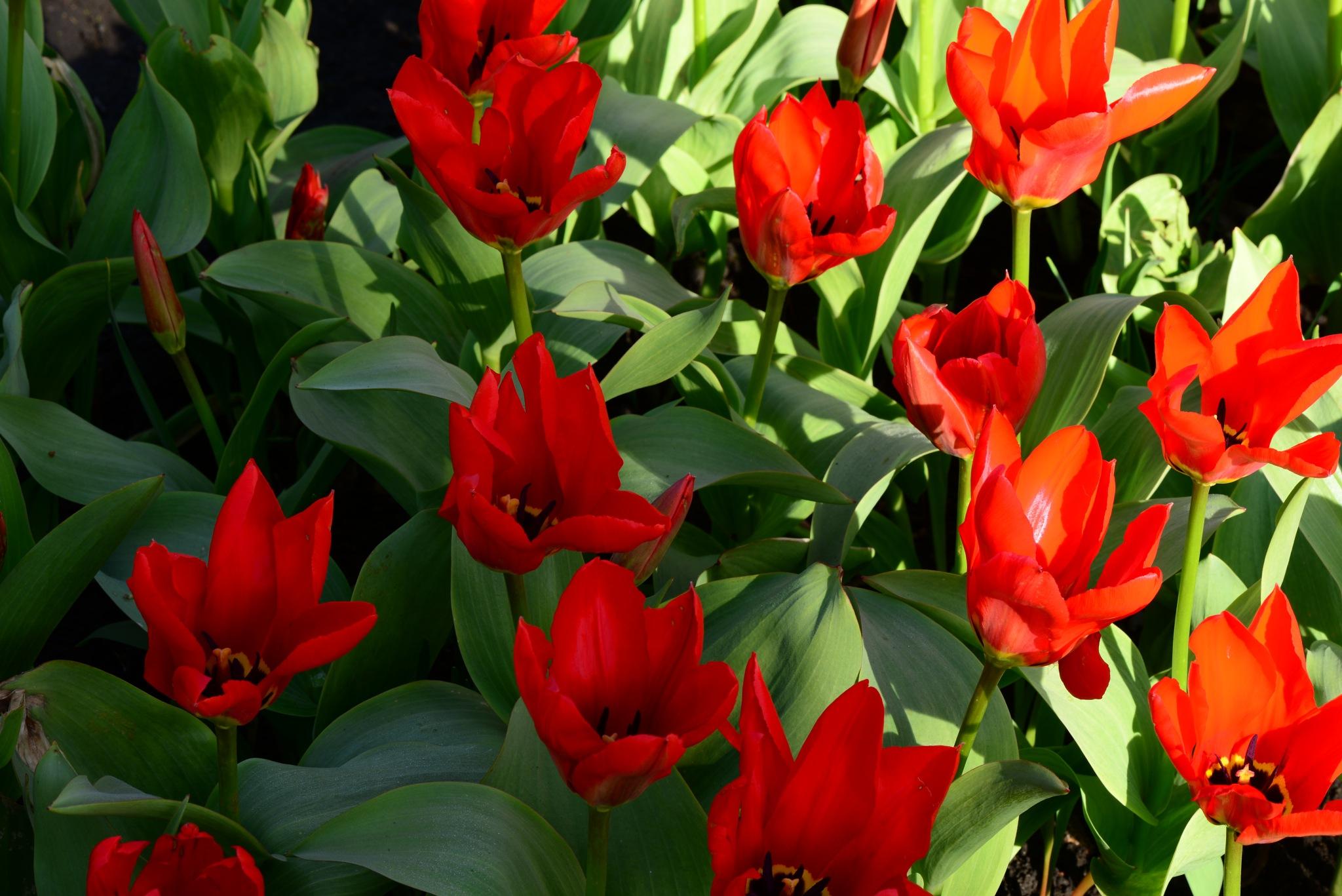 bright red flowers blooming tulips in the spring in city park by SergeiKudriavtcev
