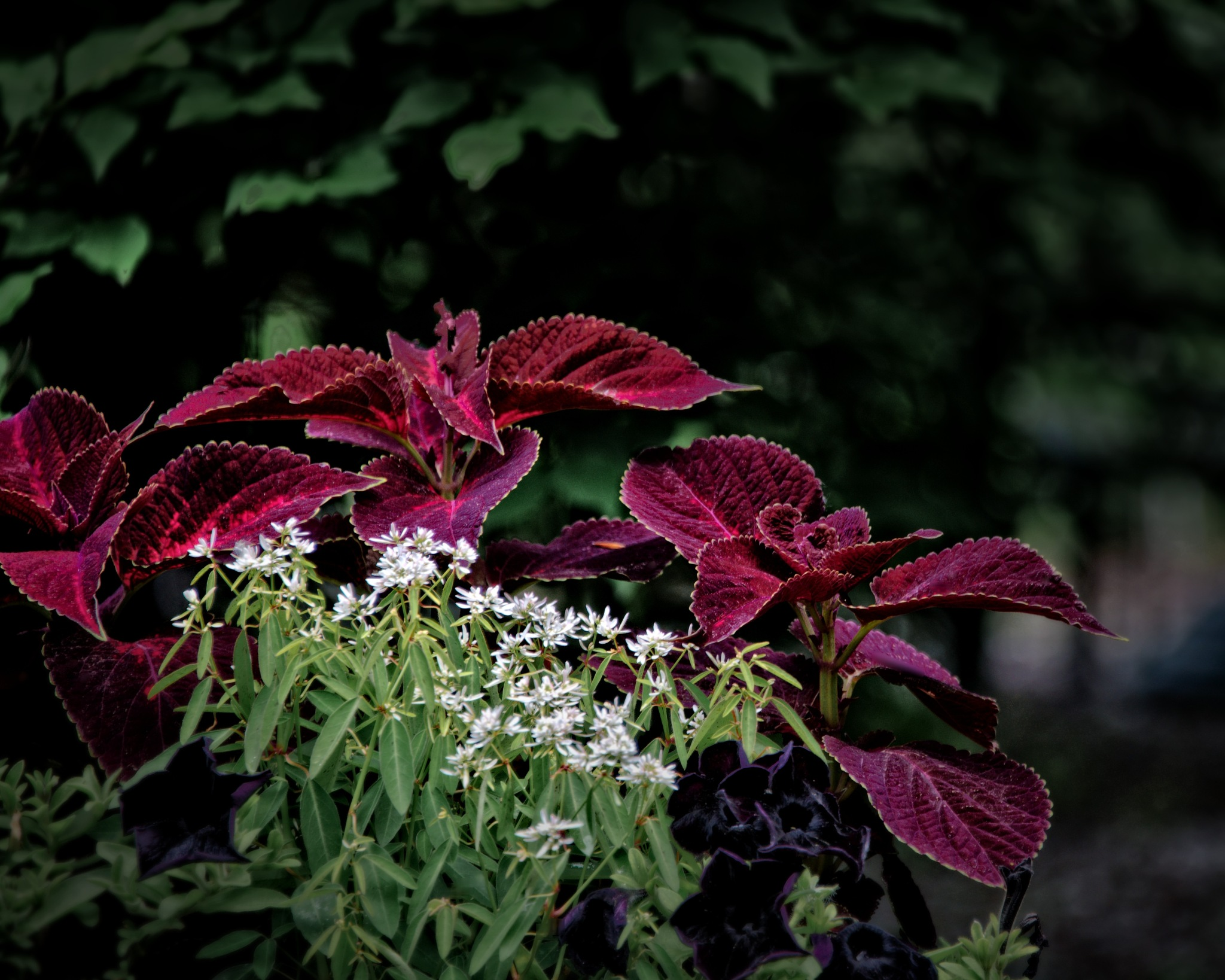 Coleus by PierreDumais