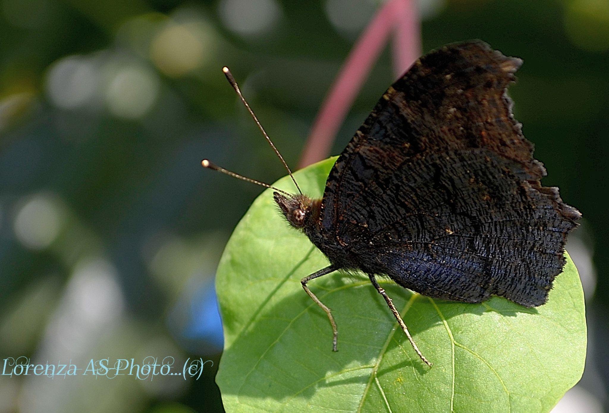 Butterfly by Lorenza Costa