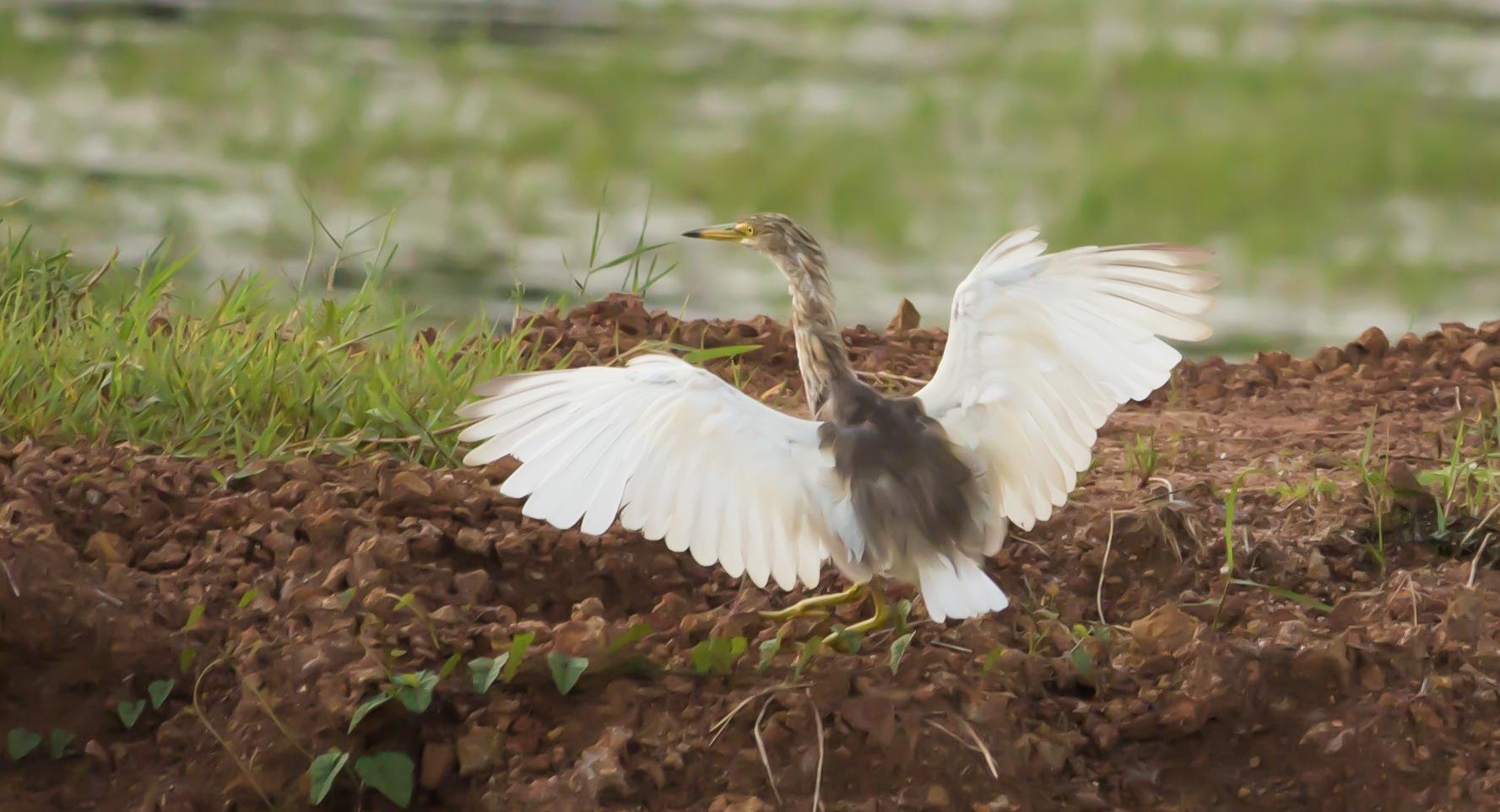 Indian Pond Heron by Gino Rapheal