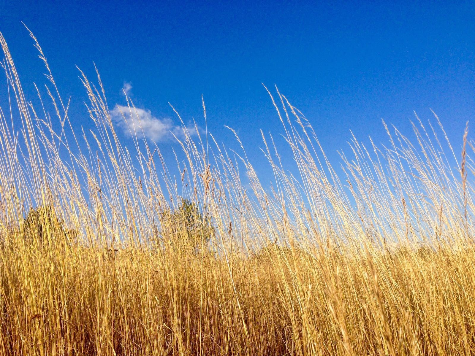 Field of gold by marco58