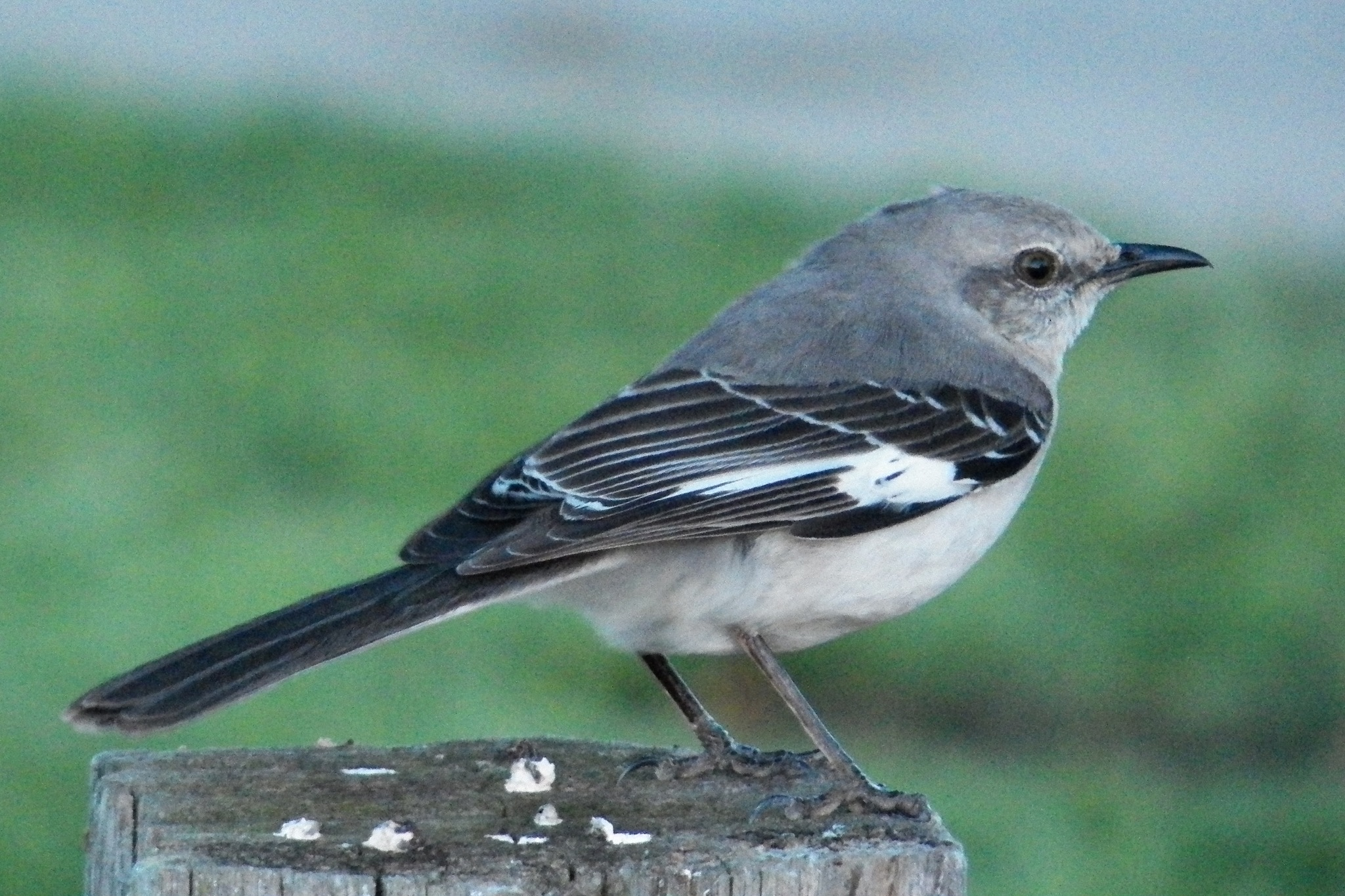 Mockingbird by Leslie Rabke