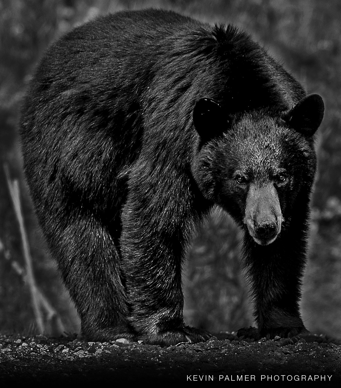 Large Black Bear by Kevin Palmer RPM