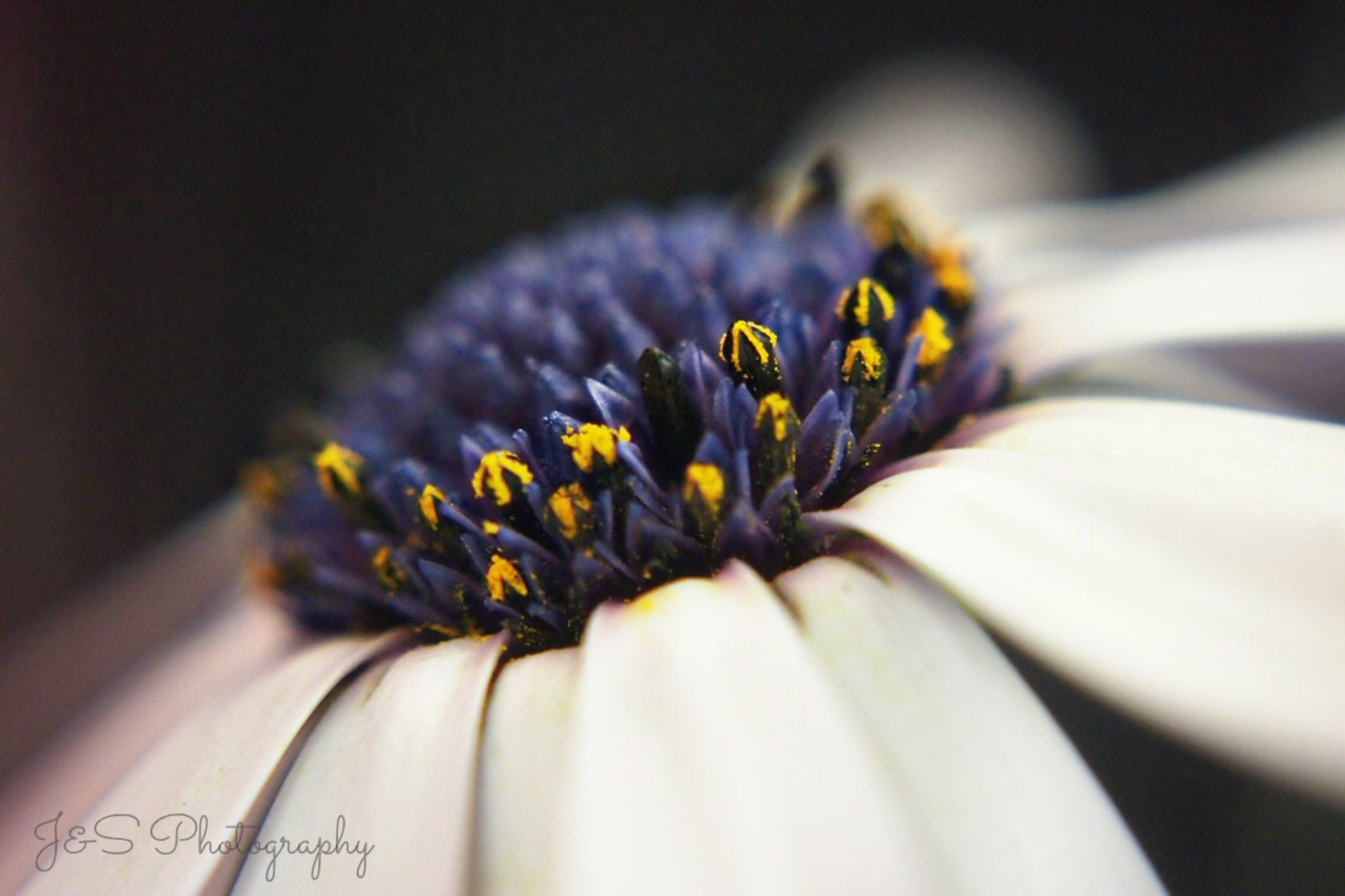 Buds Of Daisy Pollen  by Sarah Haywood Photography