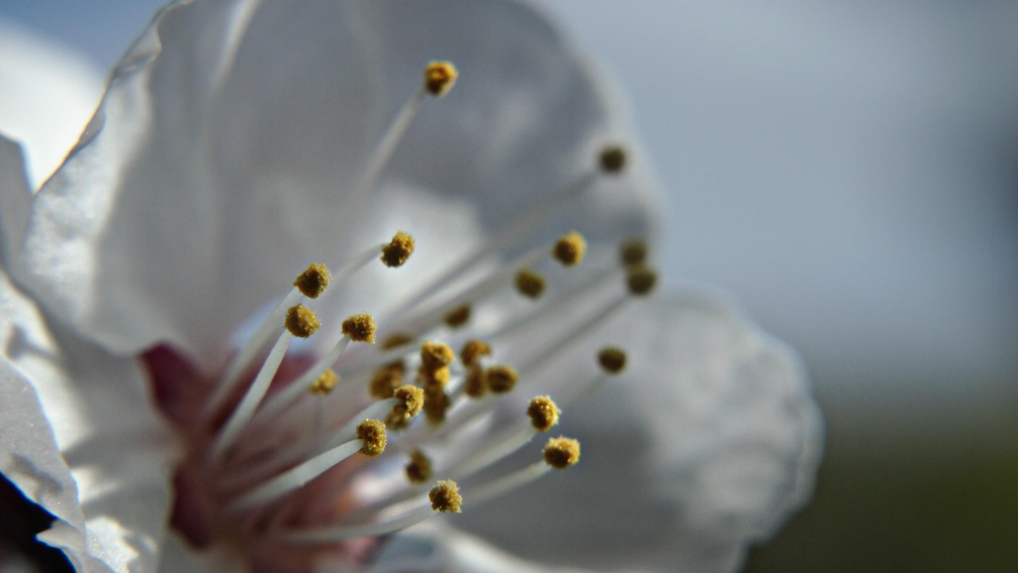 Photo in Macro #nectarine #blossom #pollen