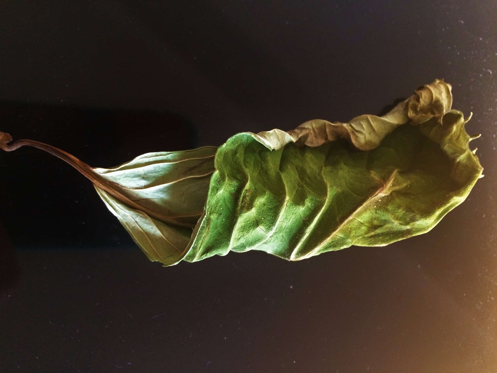 A Leaf by Constance Festo Lafond
