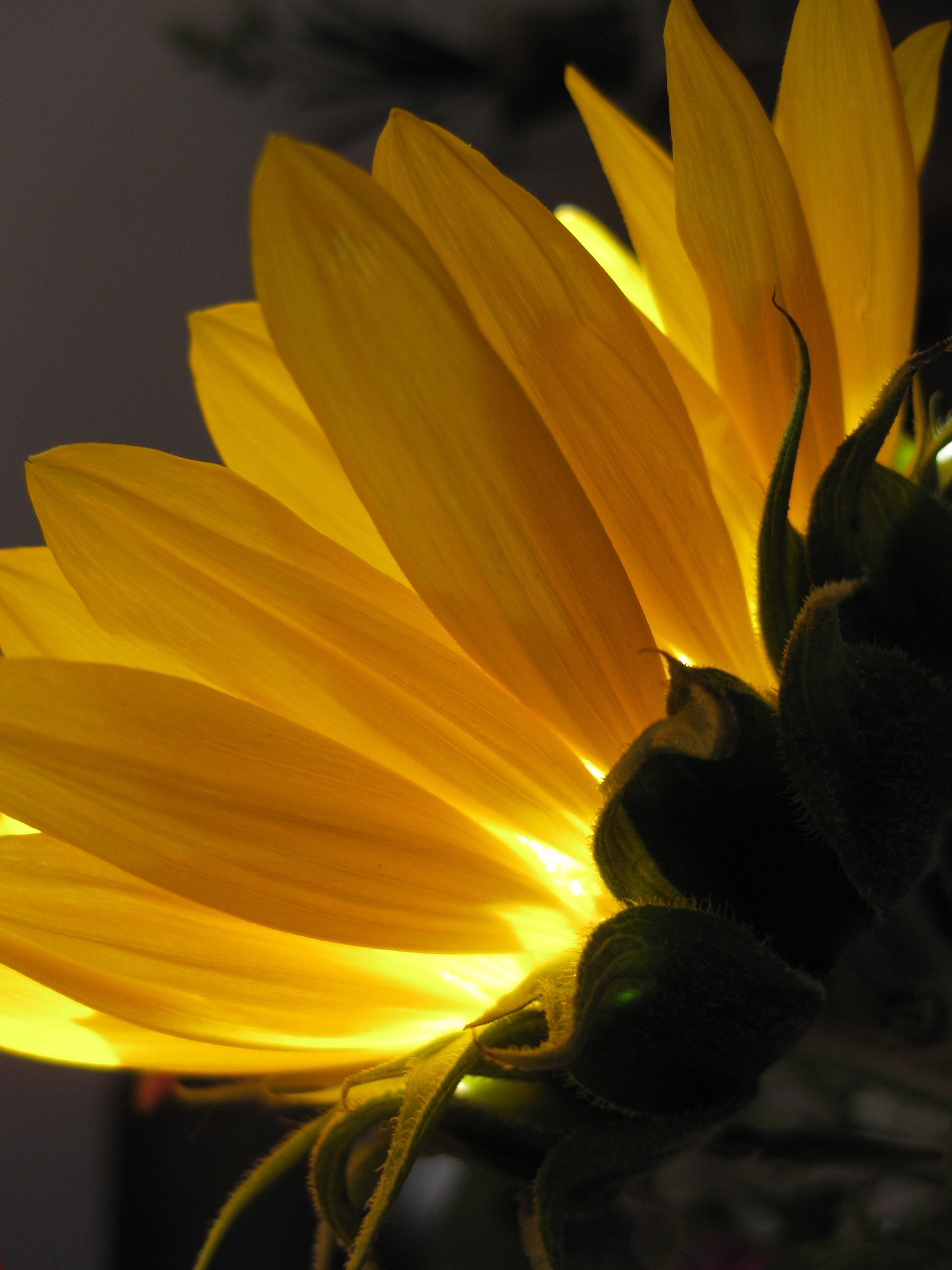 Sunflower by Constance Festo Lafond