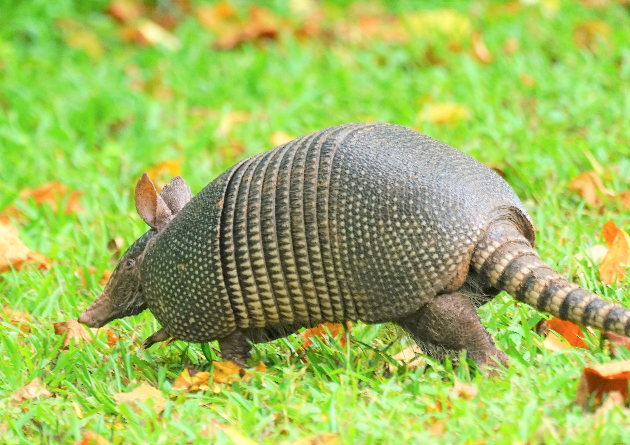 Nine-Banded Armadillo by MichaelDorsey