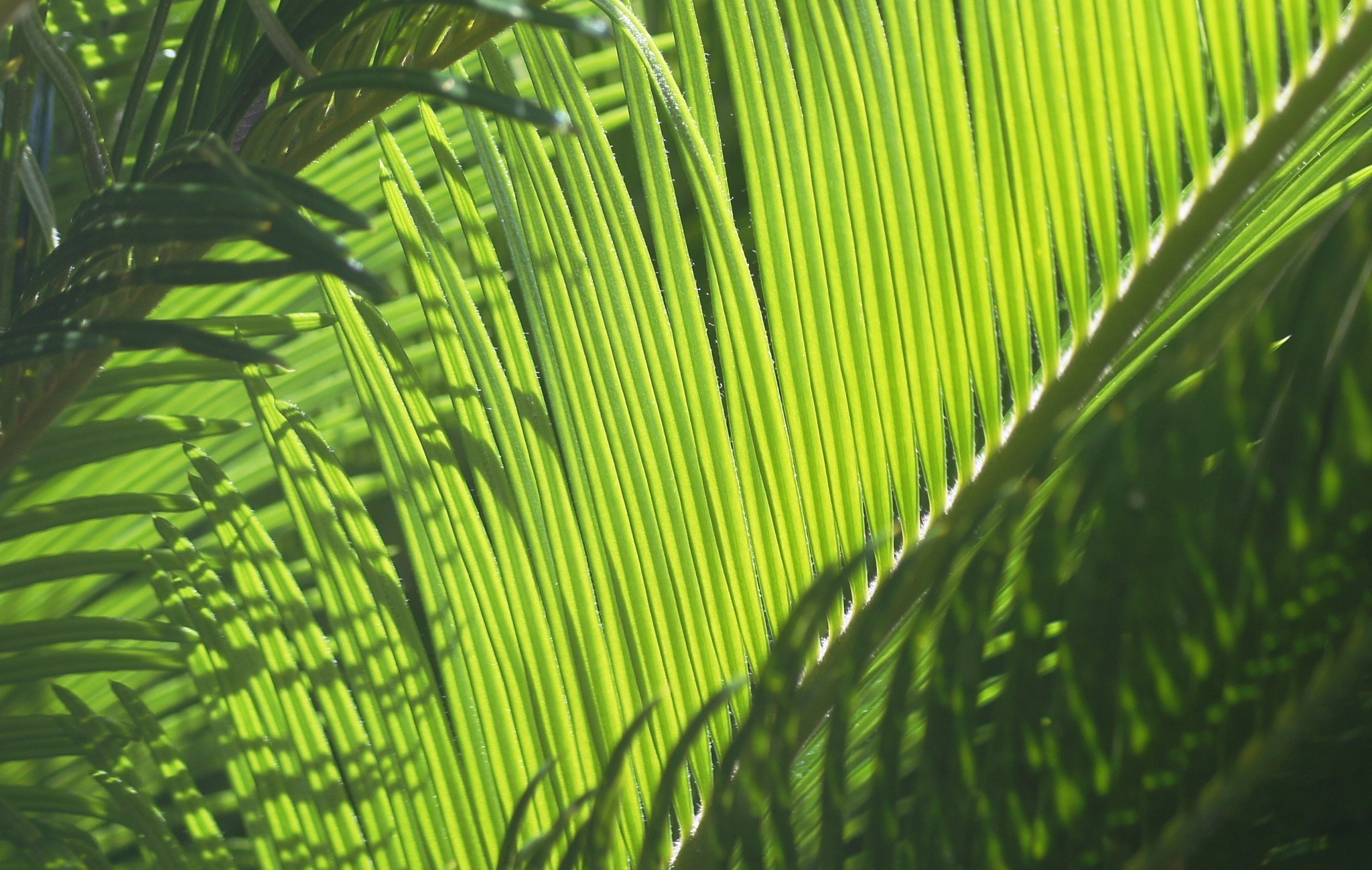 Sago Palm by MichaelDorsey