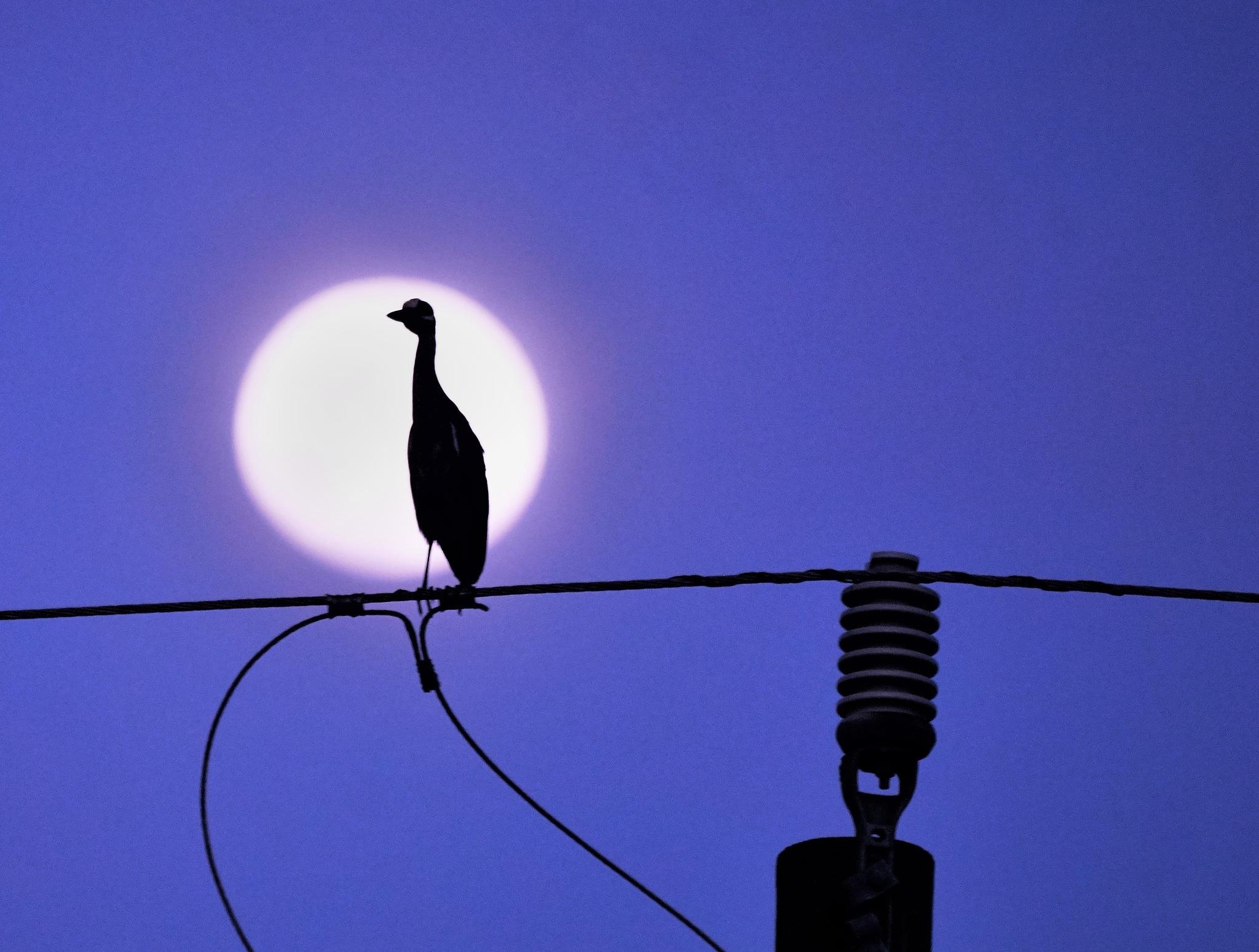 Yellow-crowned Night Heron II by MichaelDorsey