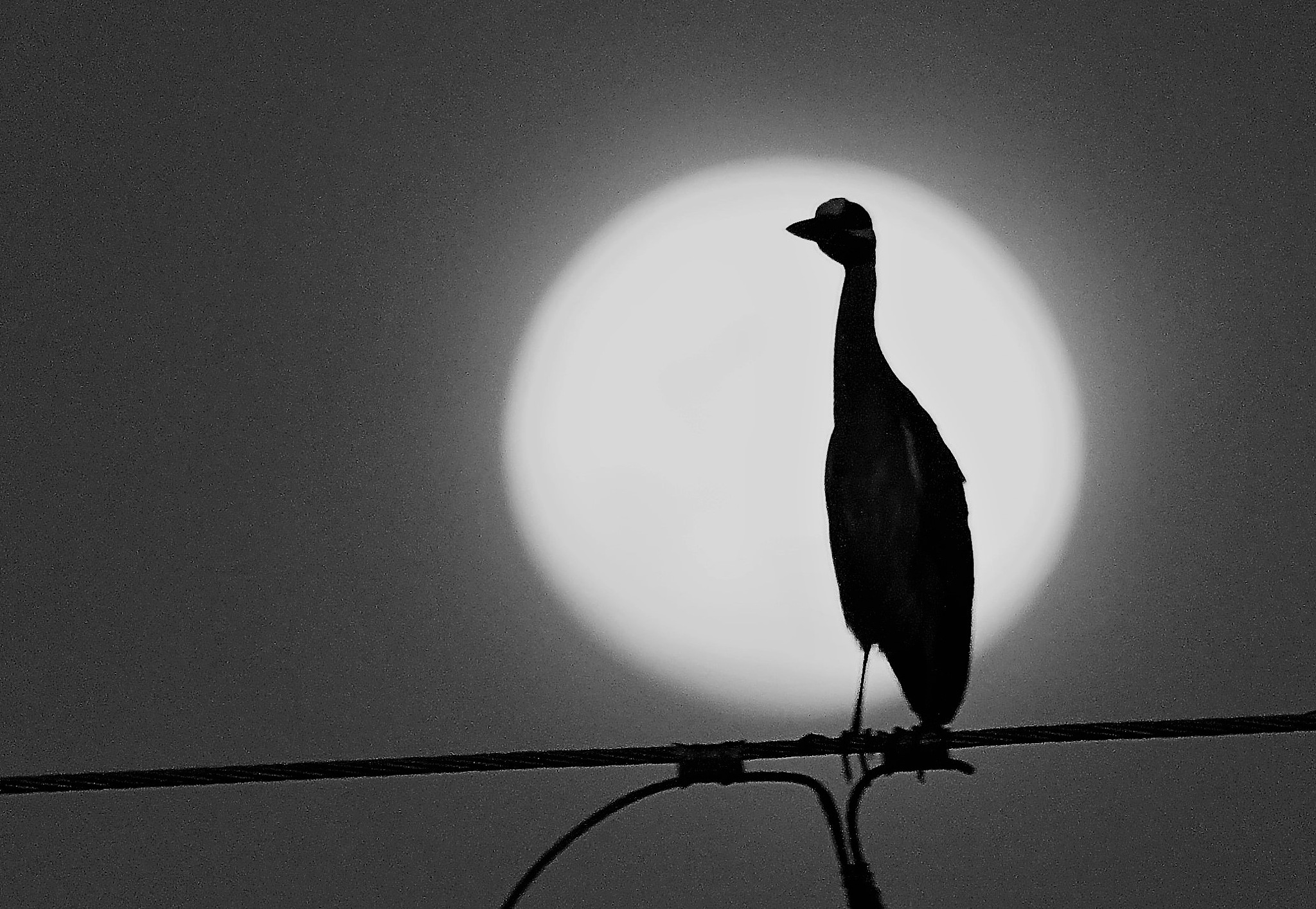 Yellow-crowned Night Heron III by MichaelDorsey