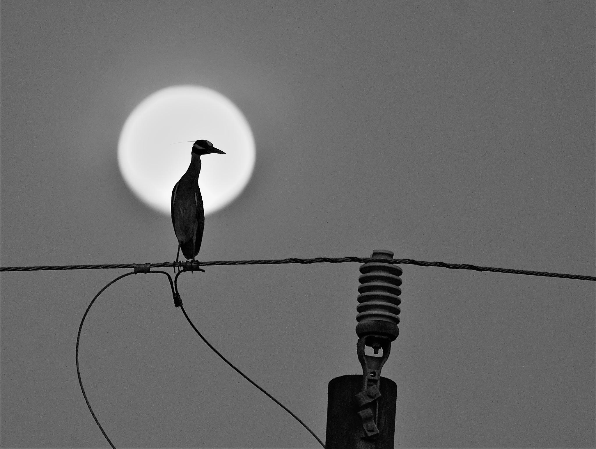 Yellow-crowned Night Heron by MichaelDorsey