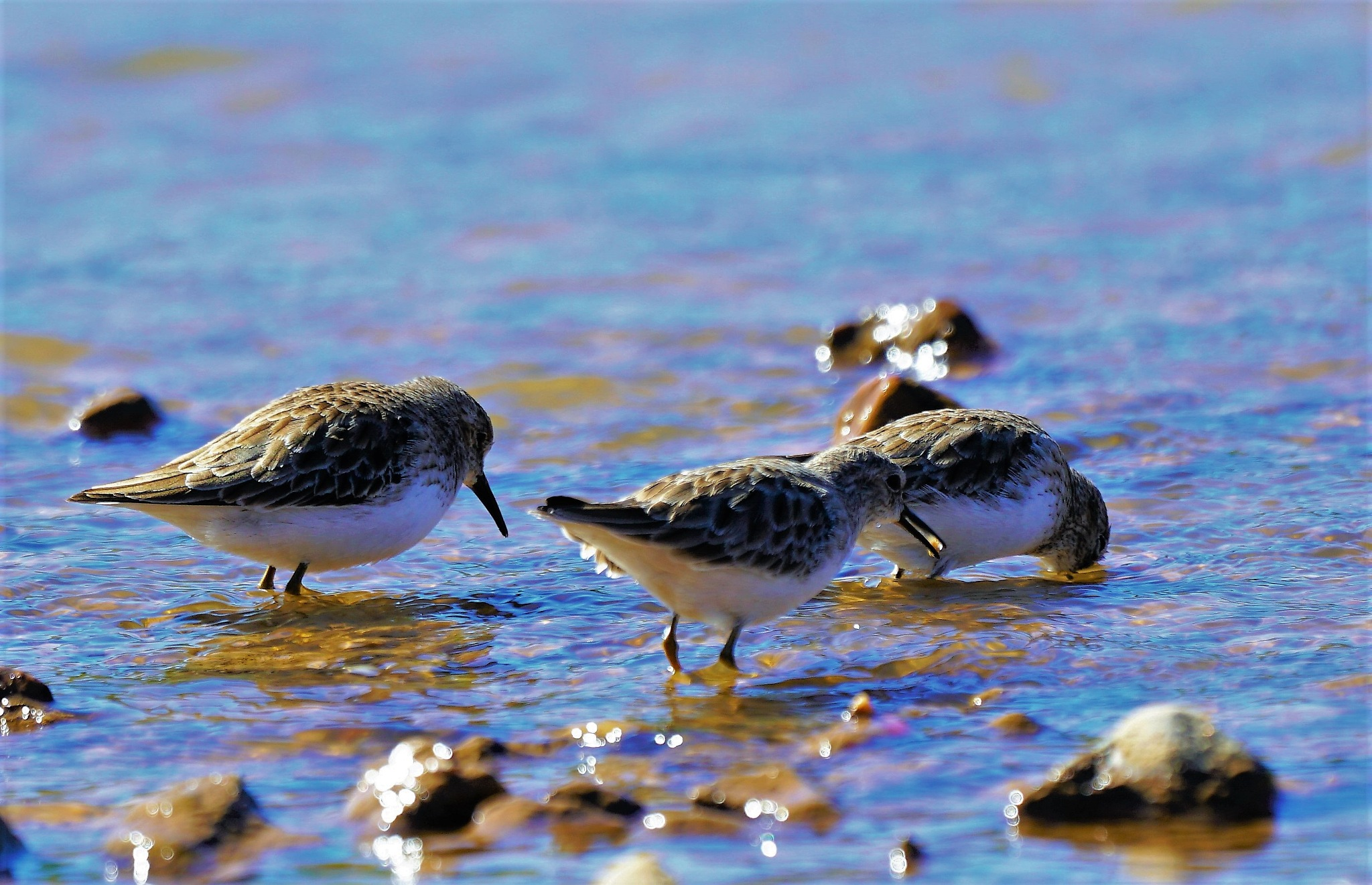 Least Sand Piper by MichaelDorsey
