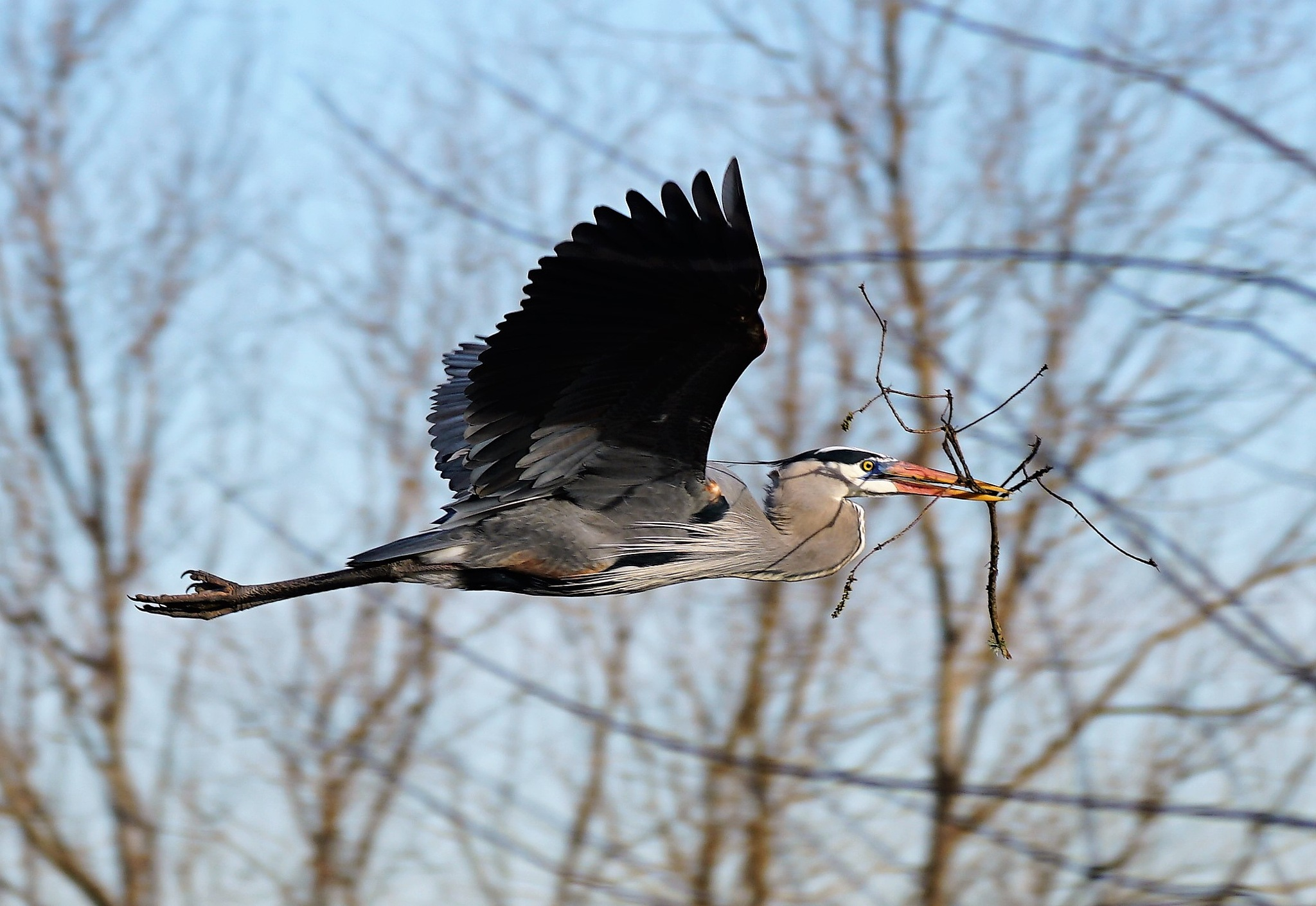 Photo in Nature #great blue heron nest buil