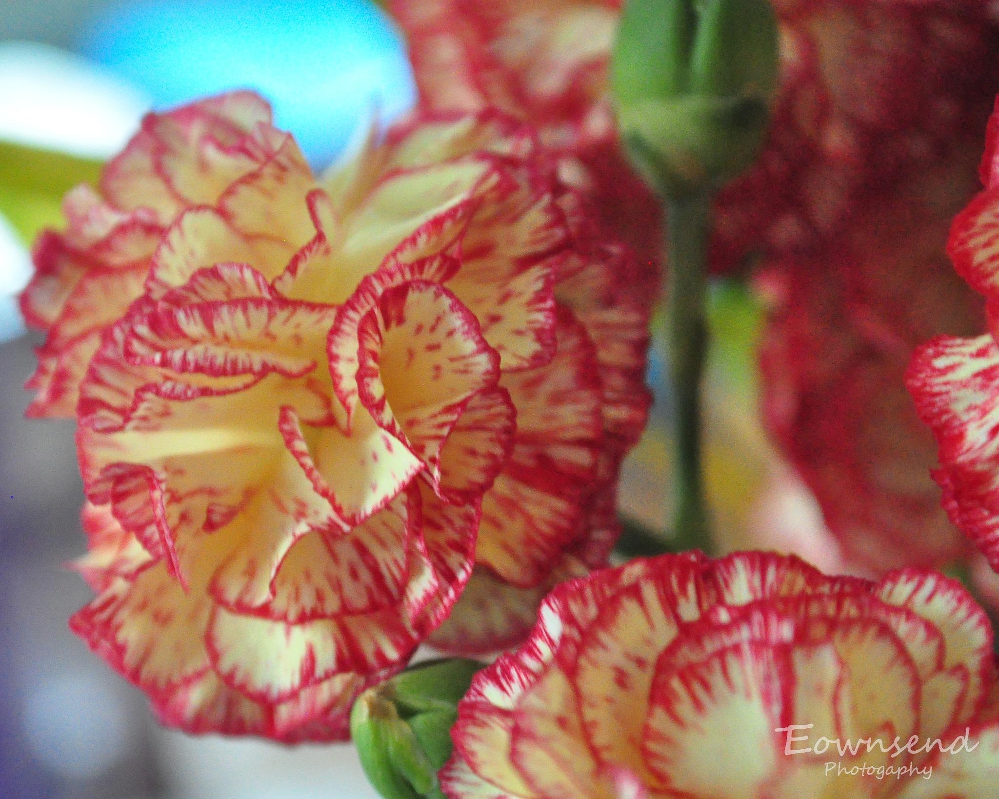 Carnations by Elizabeth C. Townsend