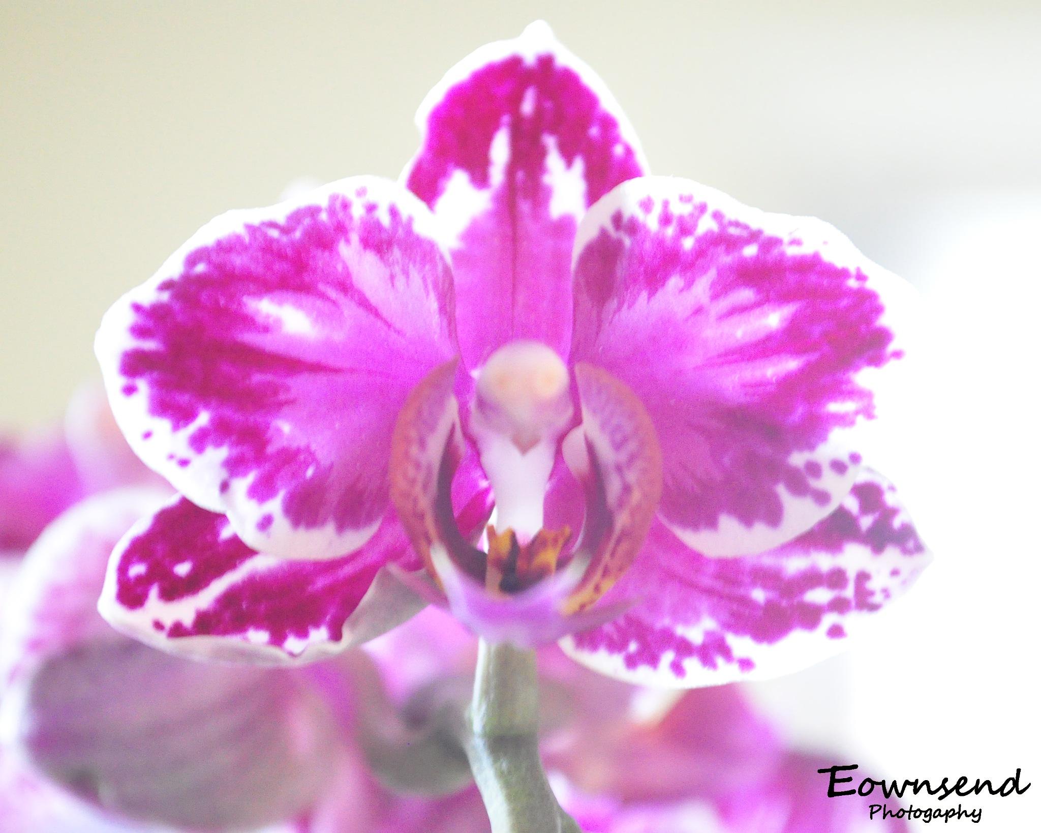 Orchid by Elizabeth C. Townsend