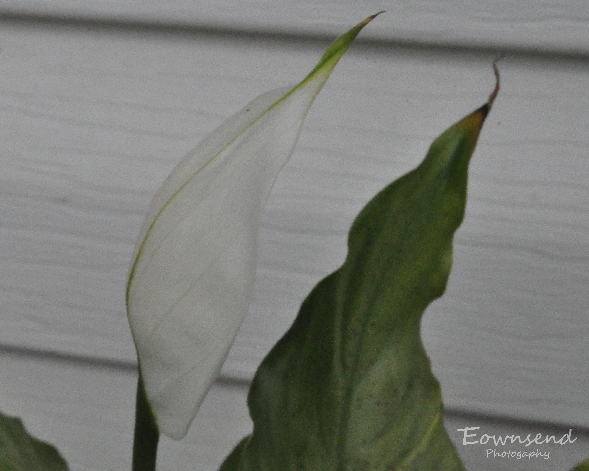 Peace Lily by Elizabeth C. Townsend