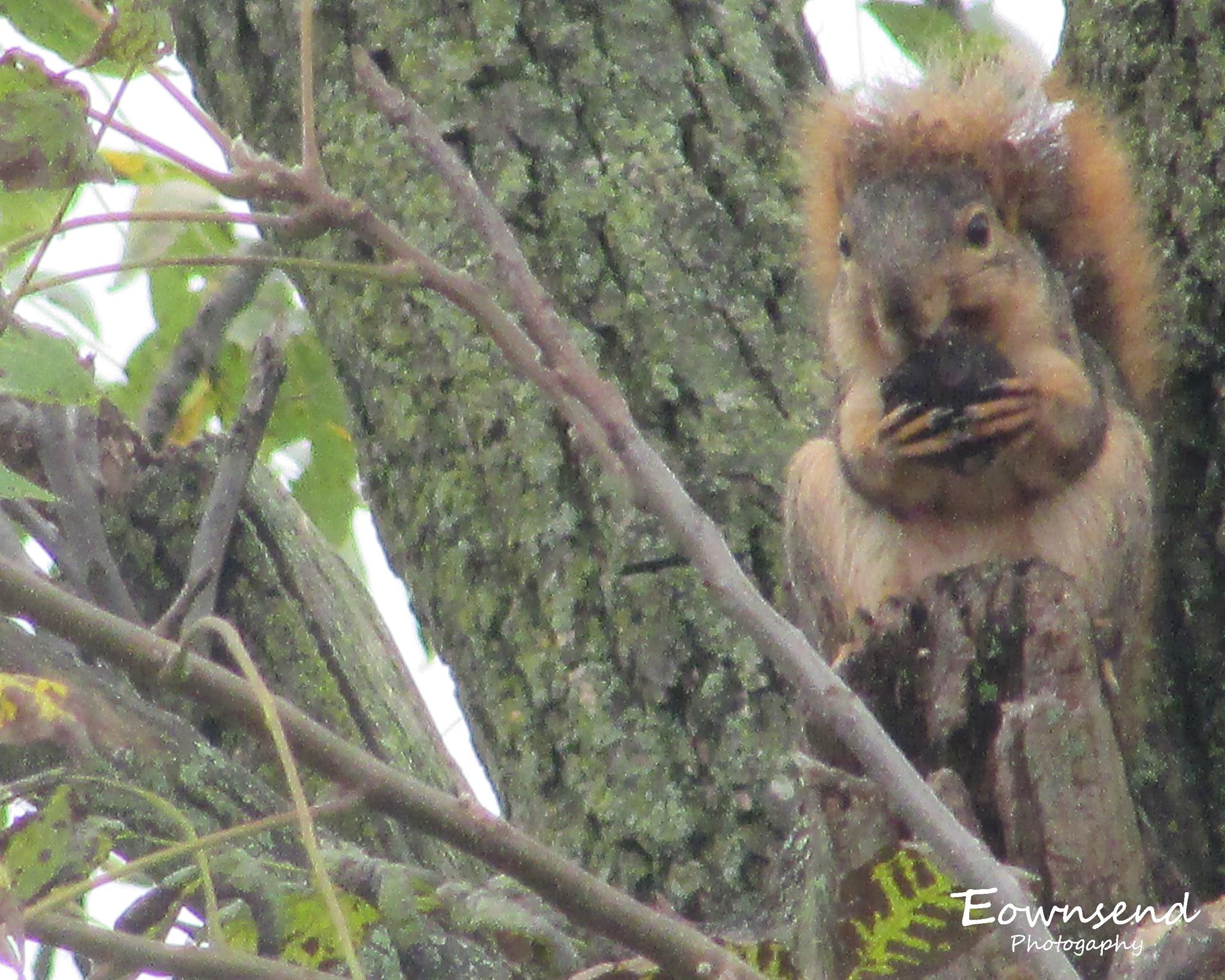 Squirrel by Elizabeth C. Townsend