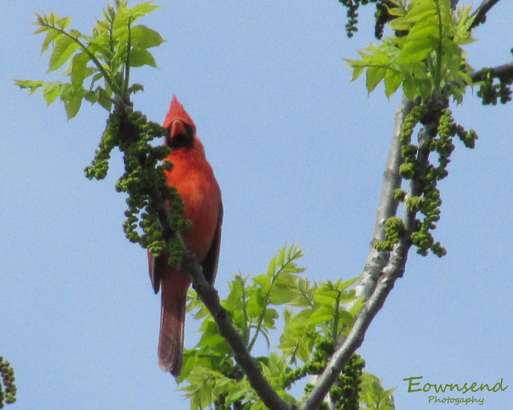 Cardinal by Elizabeth C. Townsend