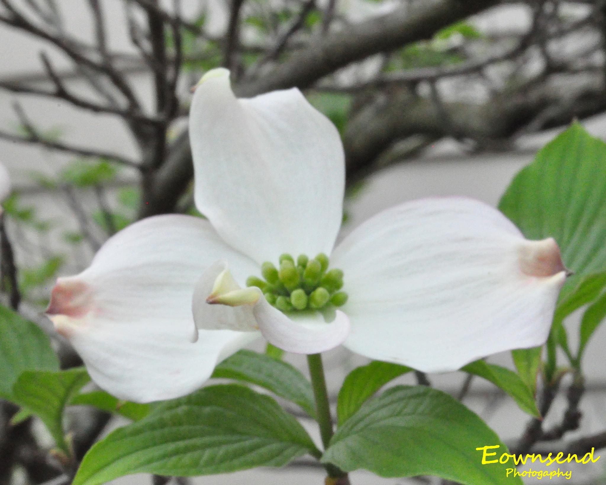 Dogwood Bloom by Elizabeth C. Townsend
