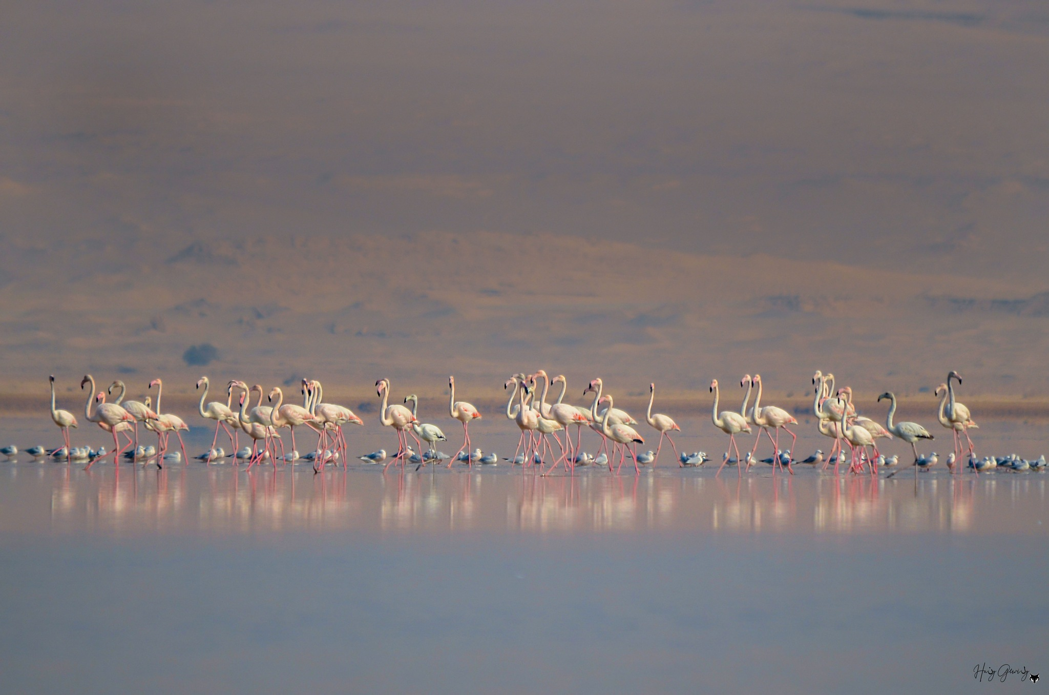 Great Flamingo In Egypt by Hani Gewily