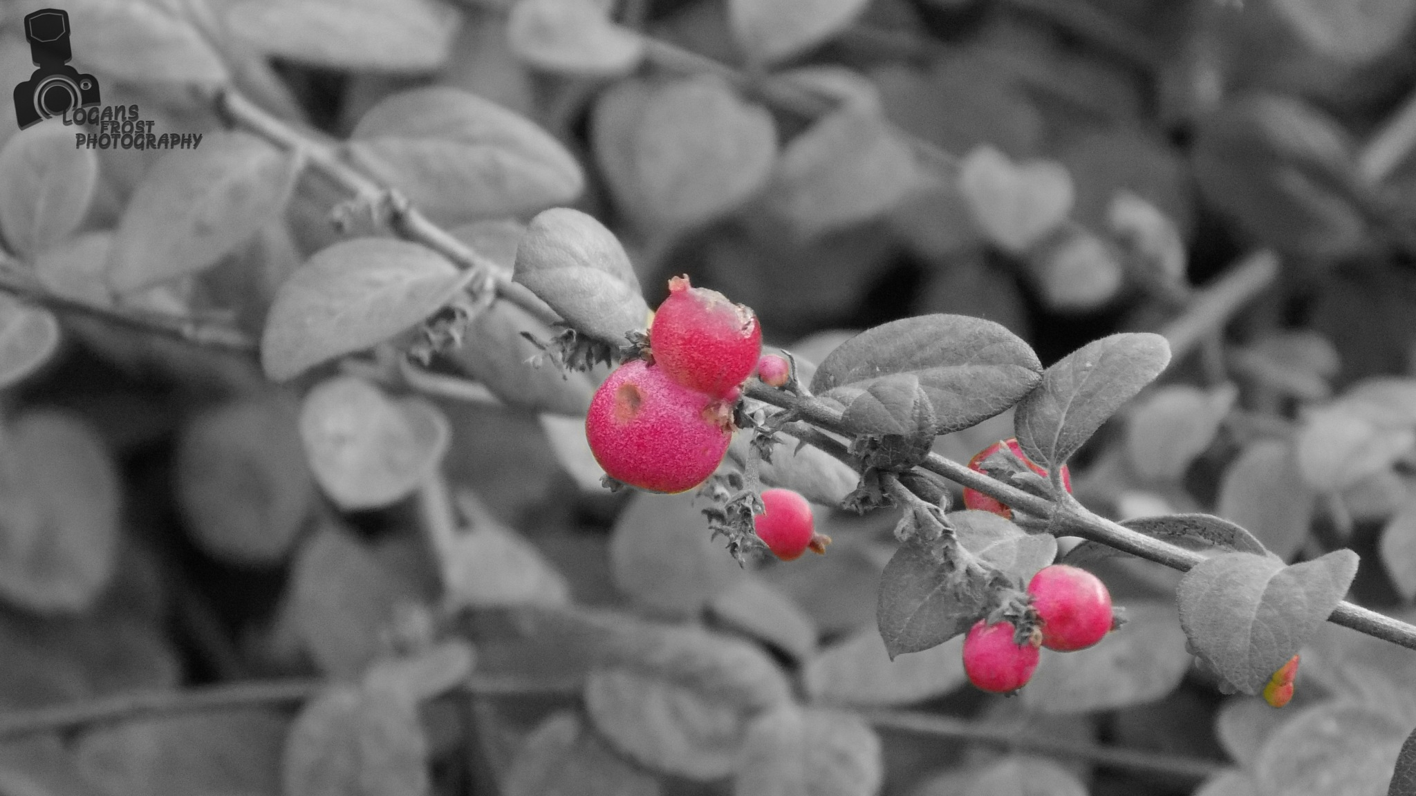 Berry Bush Black And White With Color Elements by LoganFrostPhotography